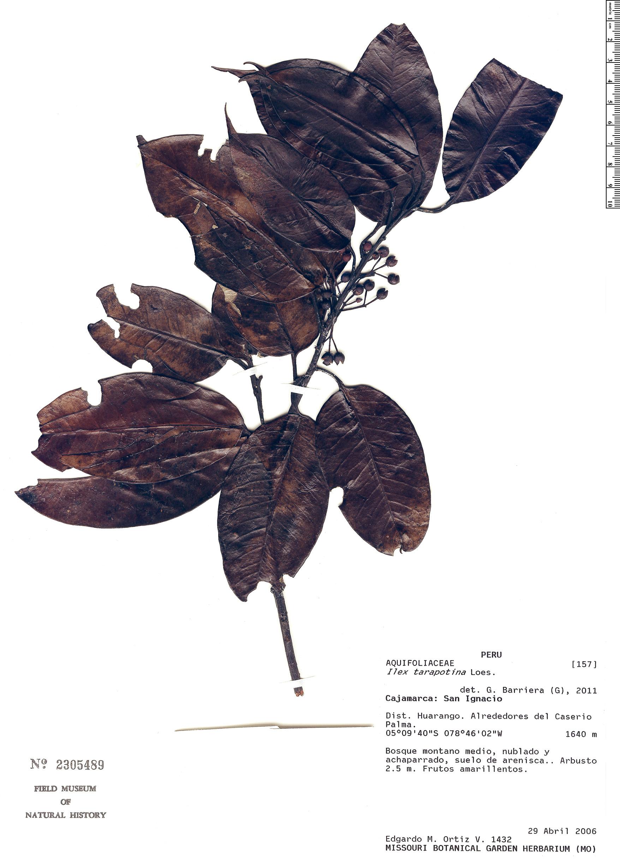 Specimen: Ilex tarapotina