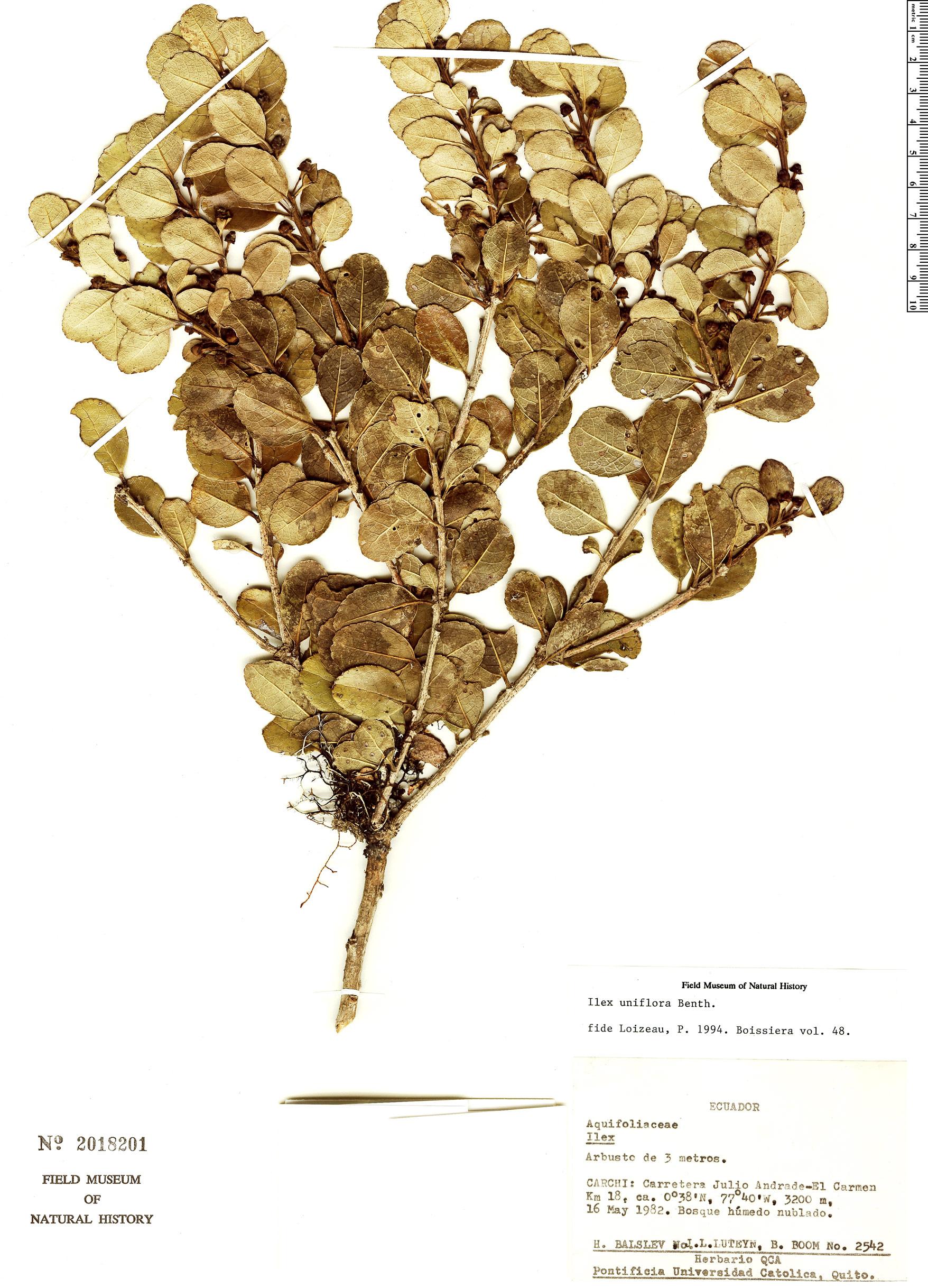 Specimen: Ilex uniflora