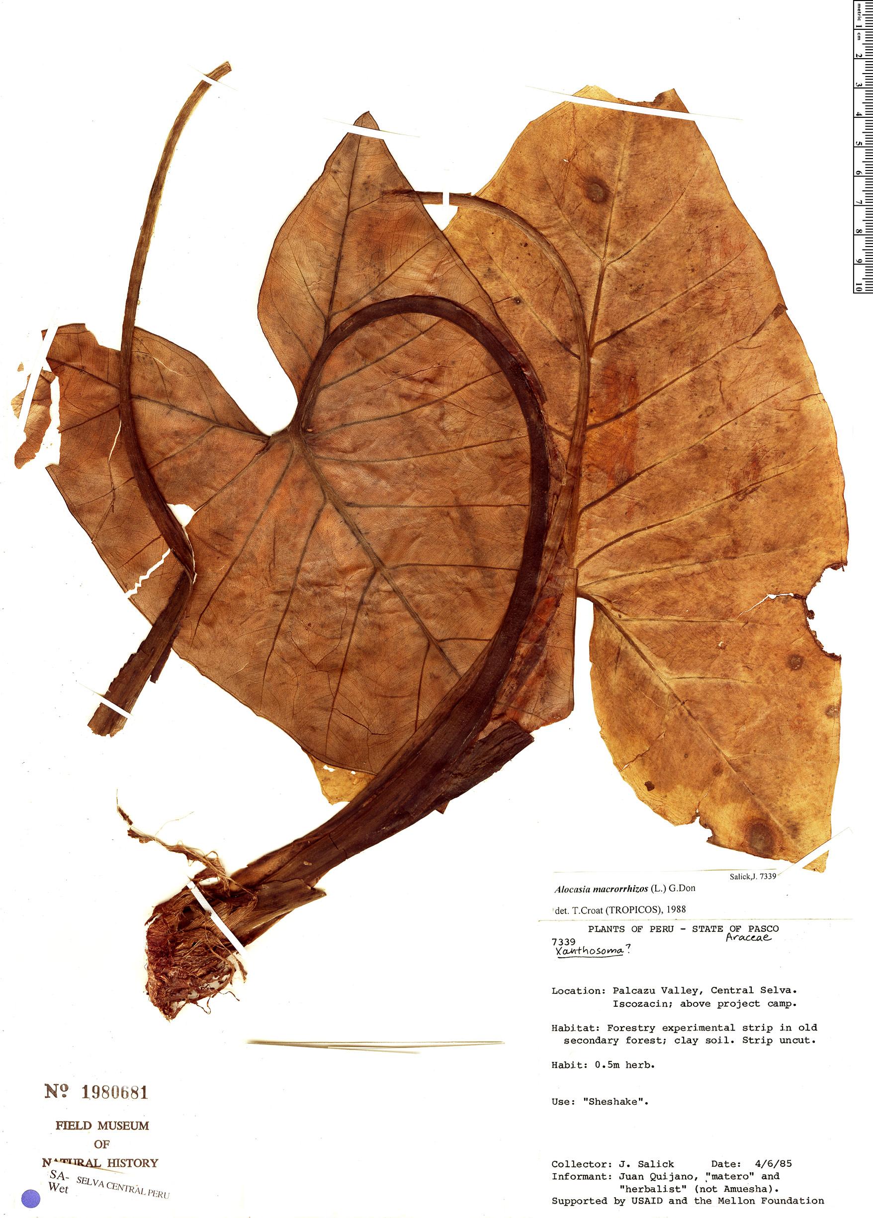 Specimen: Alocasia macrorrhizos