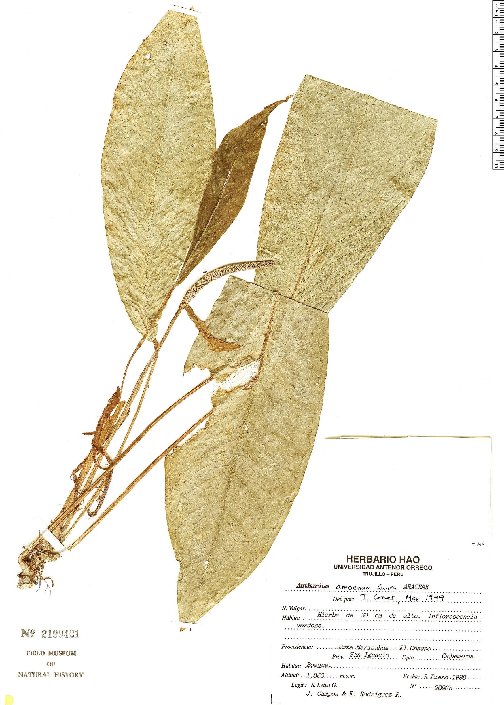 Espécimen: Anthurium amoenum