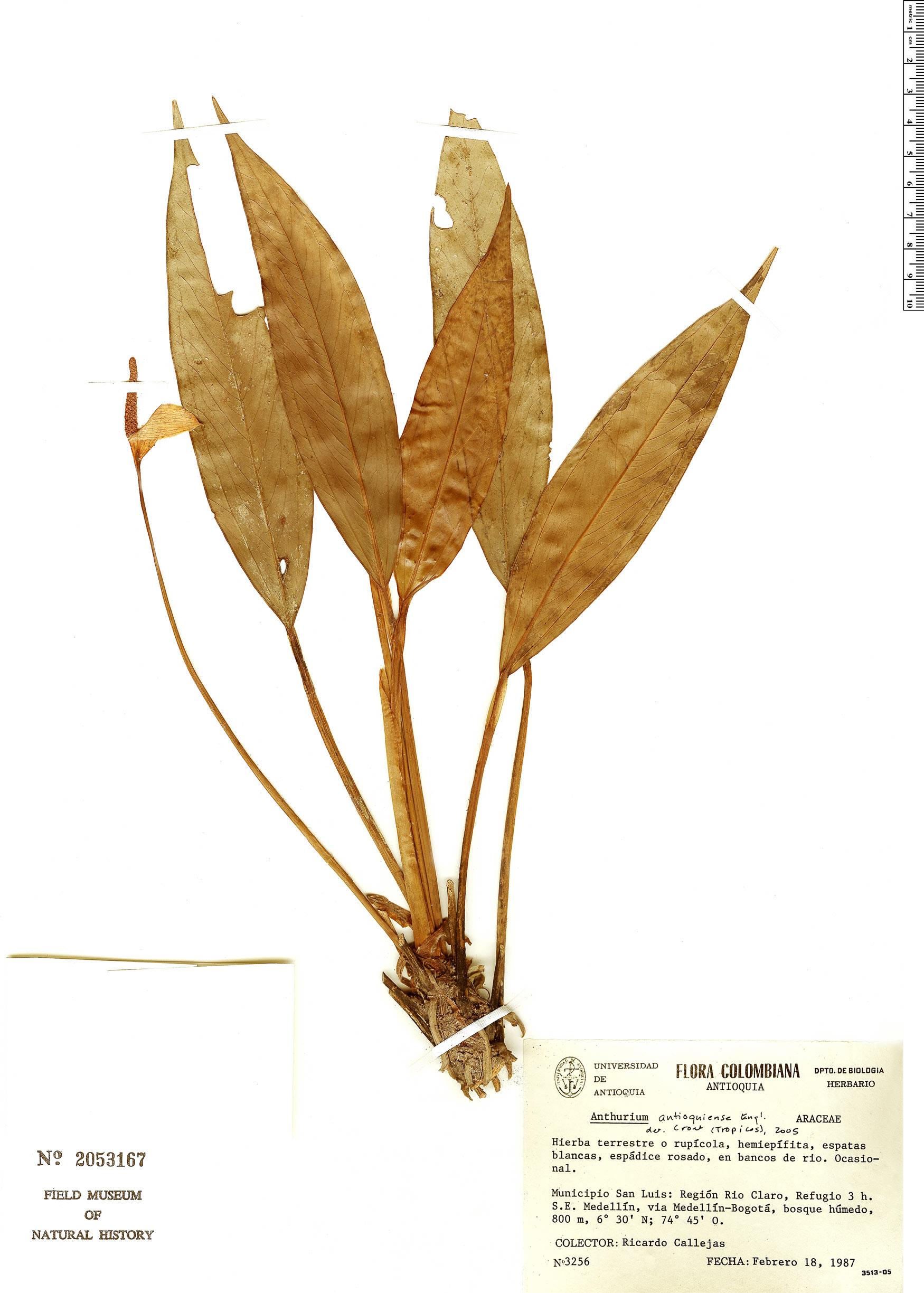 Specimen: Anthurium antioquiense