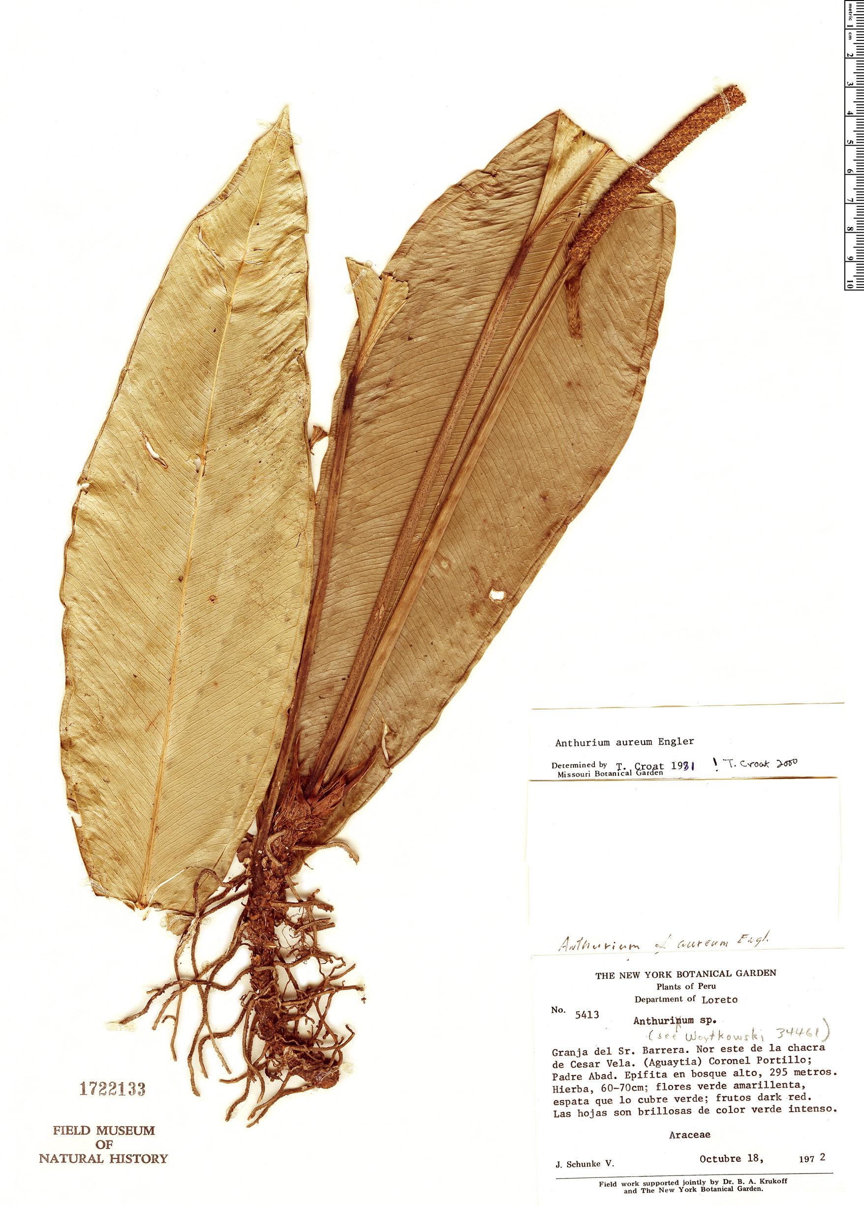Specimen: Anthurium apaporanum