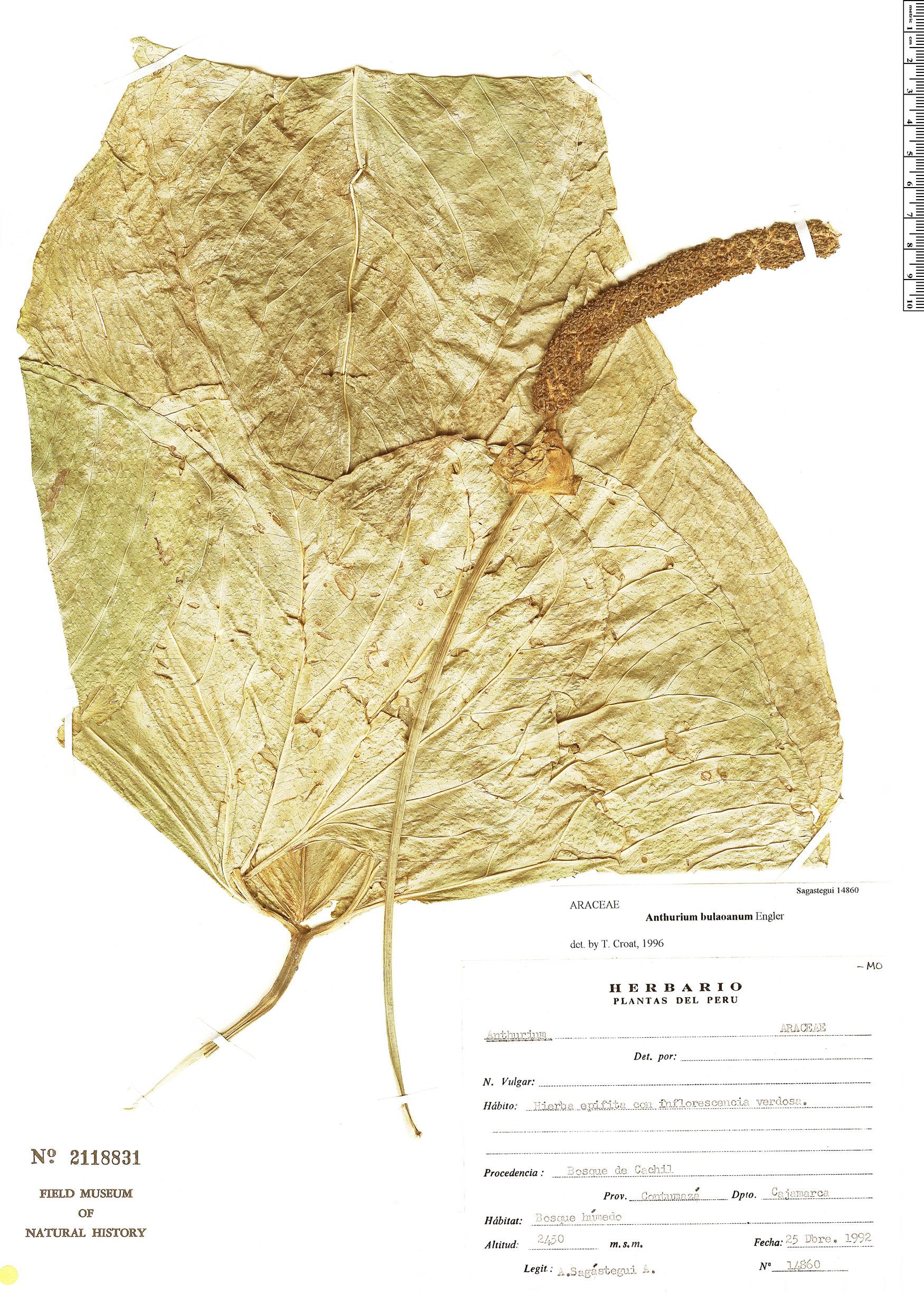 Espécimen: Anthurium balaoanum