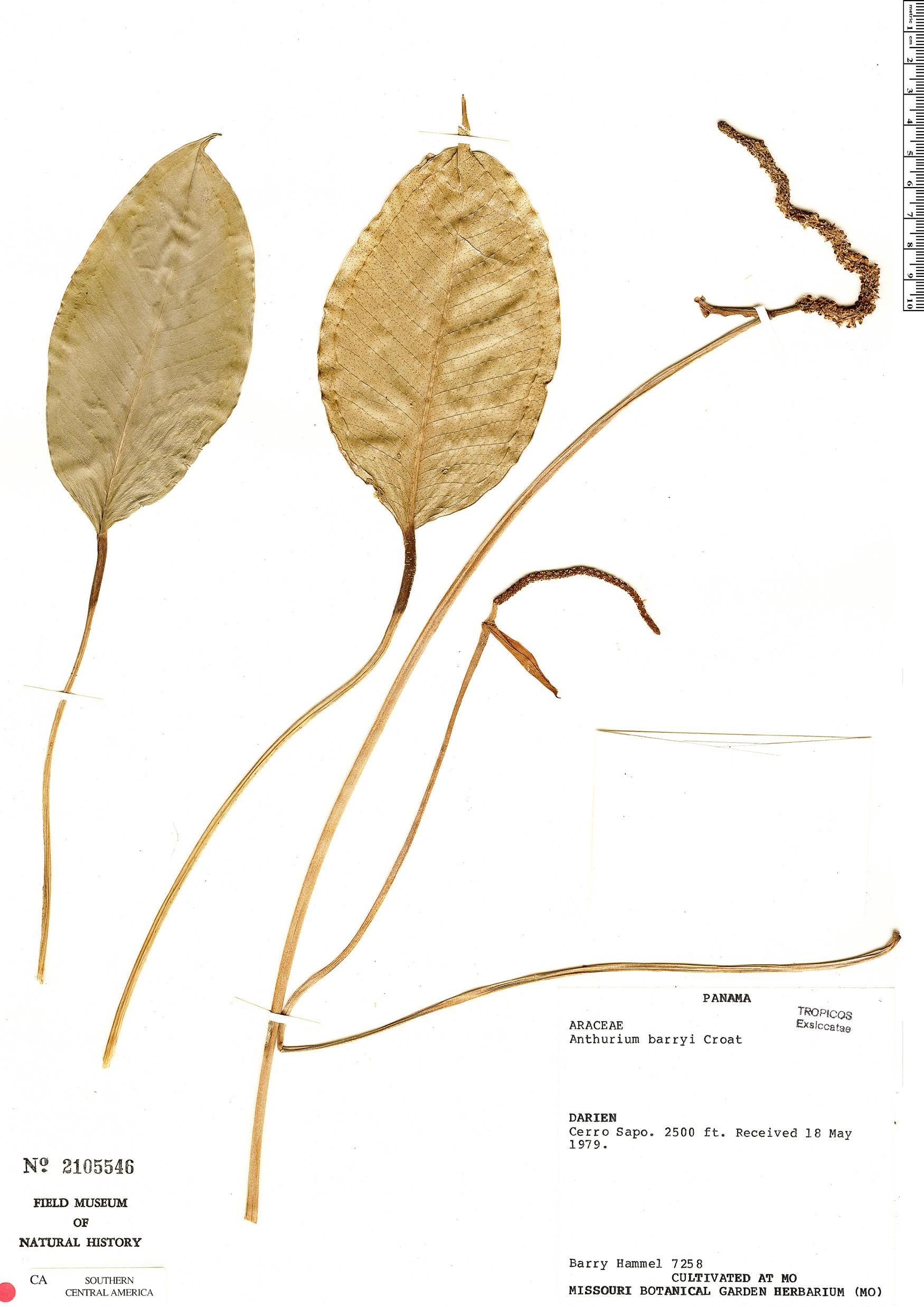 Specimen: Anthurium barryi