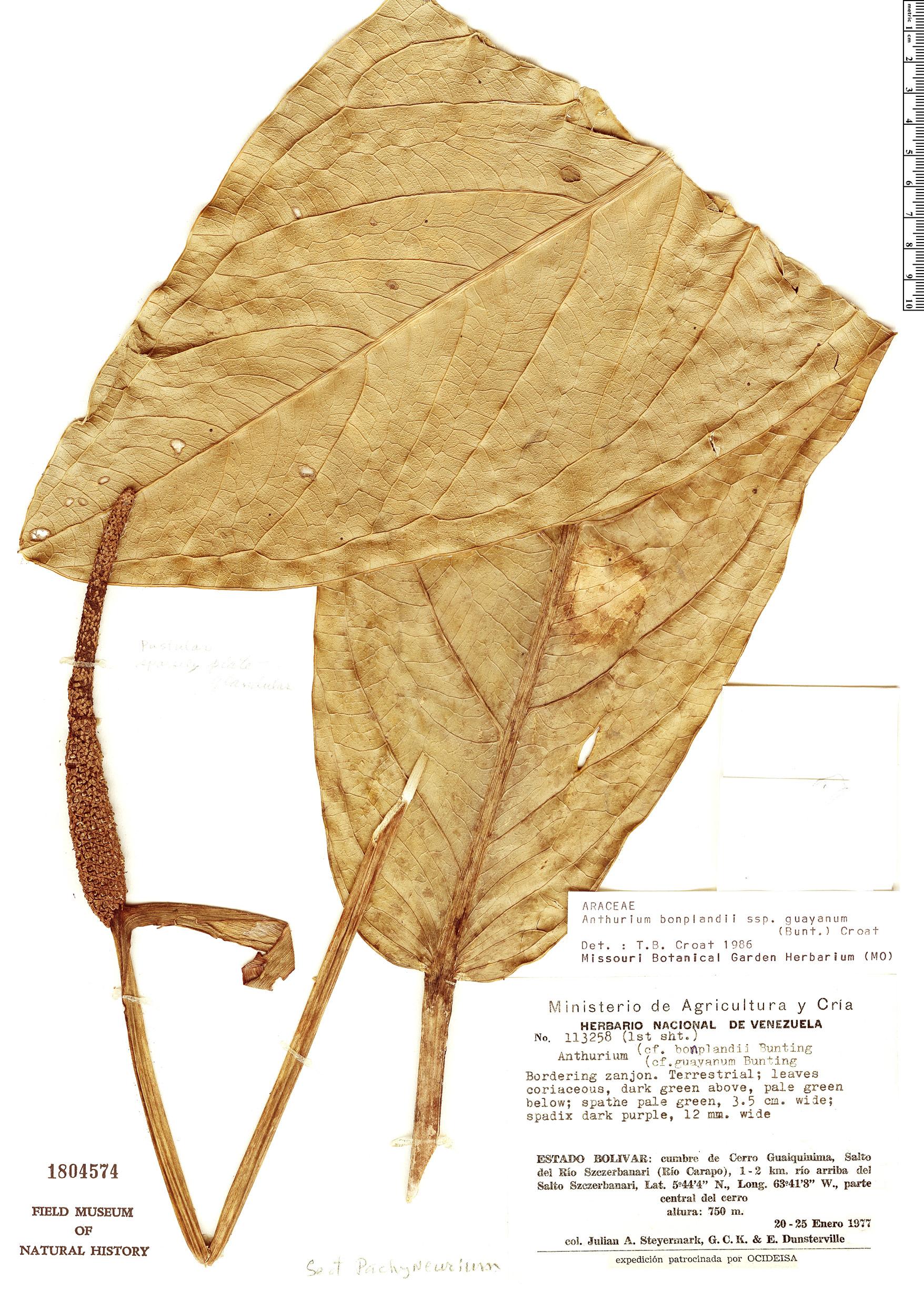 Specimen: Anthurium bonplandii