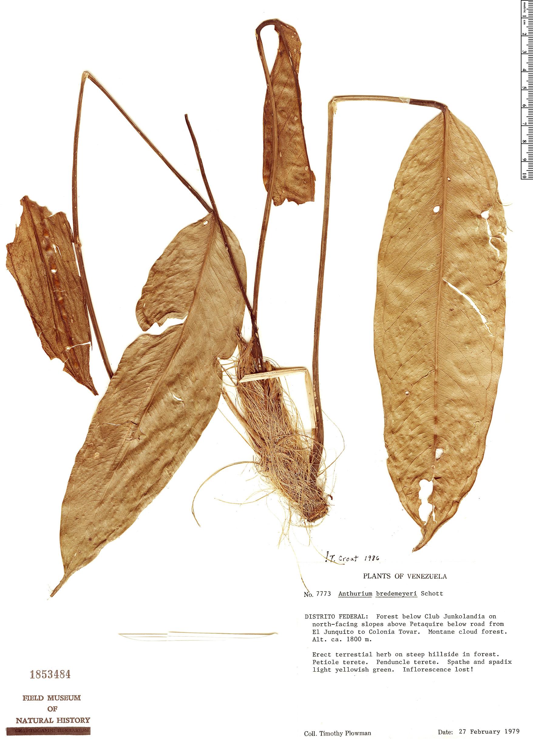 Specimen: Anthurium bredemeyeri