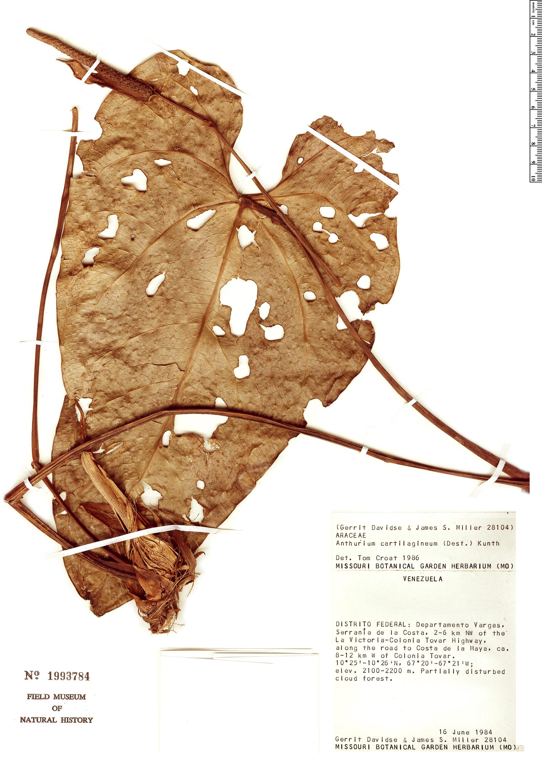 Specimen: Anthurium cartilagineum