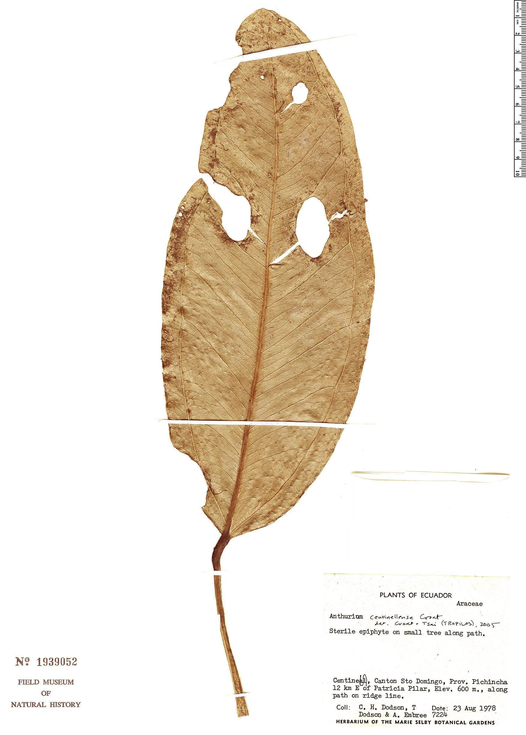 Specimen: Anthurium centinellense