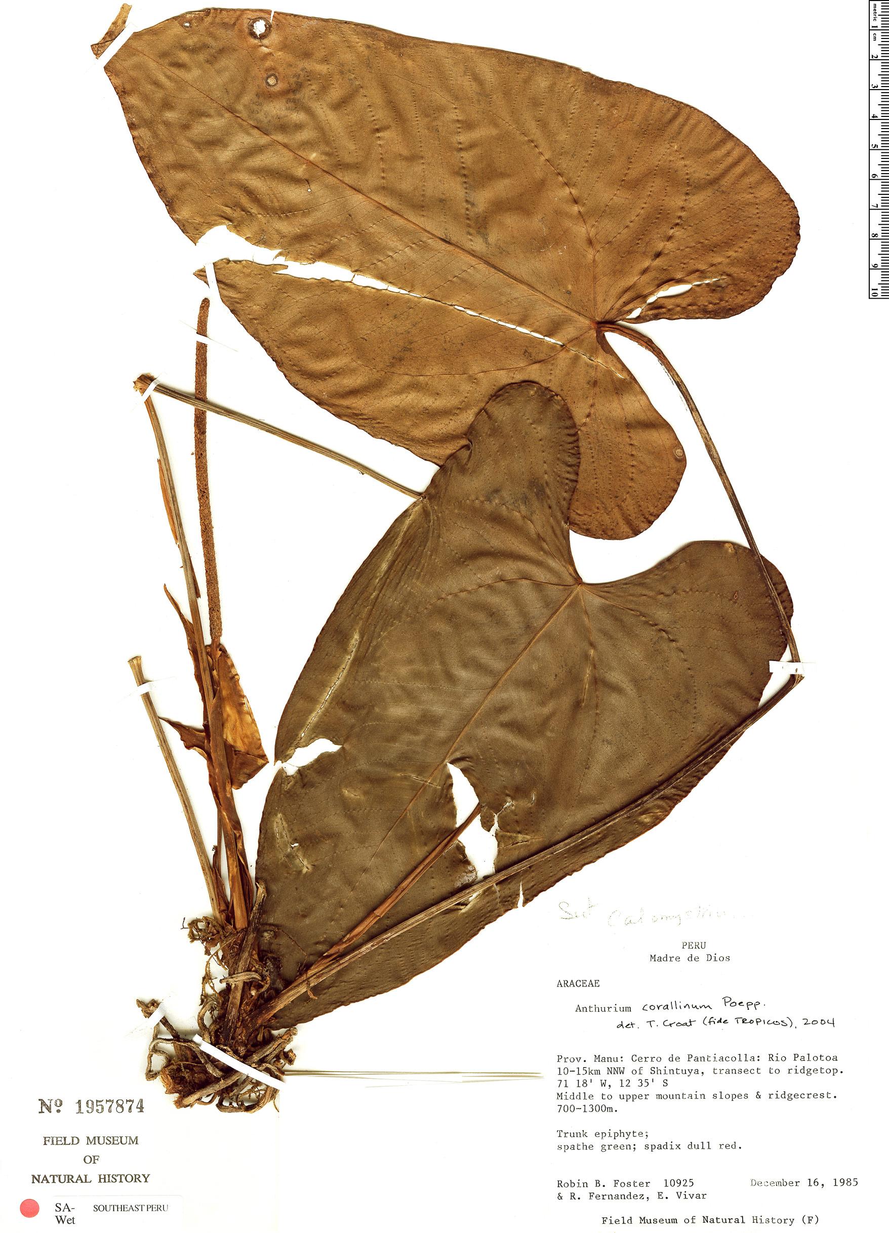 Espécime: Anthurium corallinum