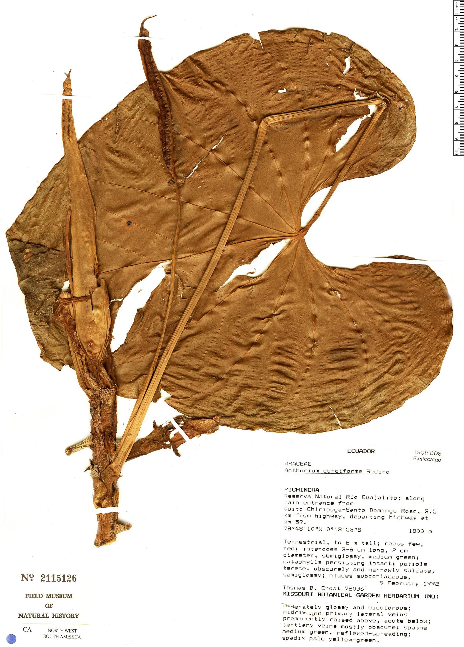 Specimen: Anthurium cordiforme