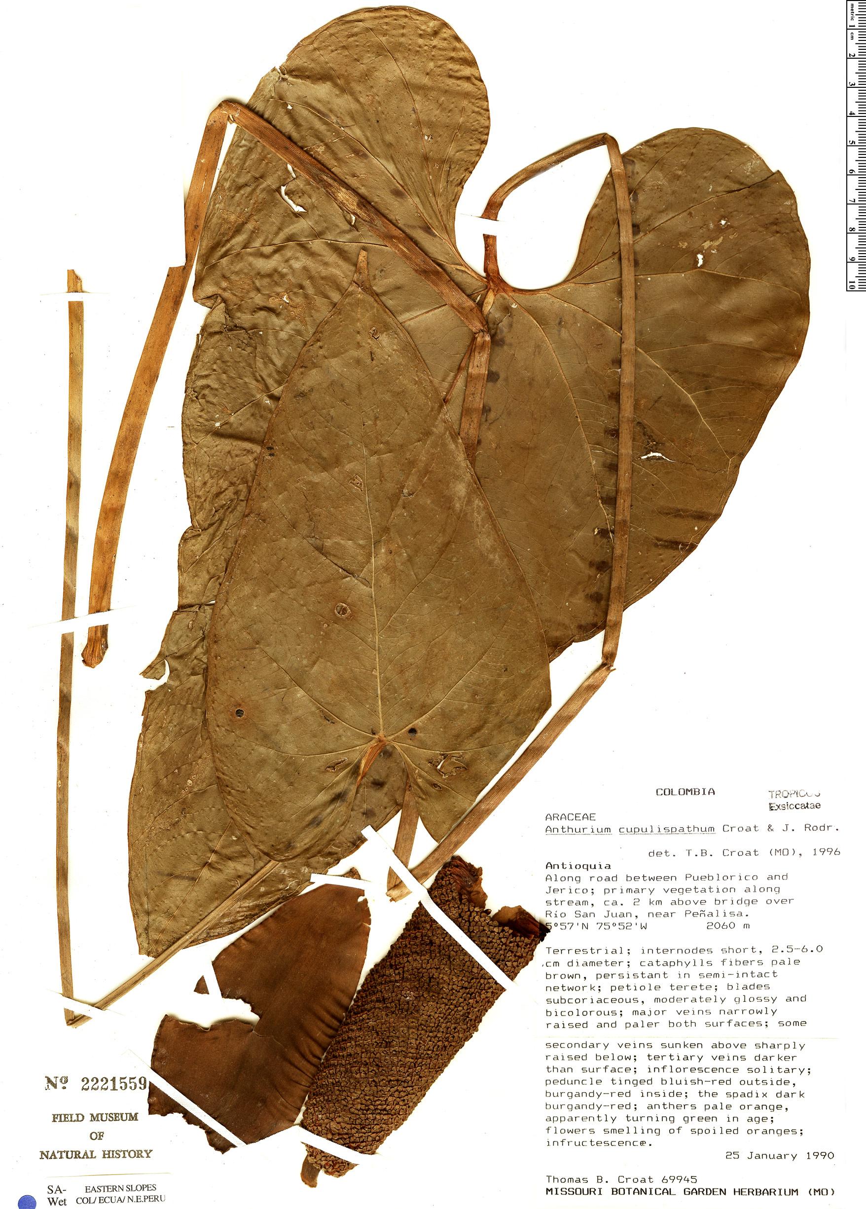 Specimen: Anthurium cupulispathum