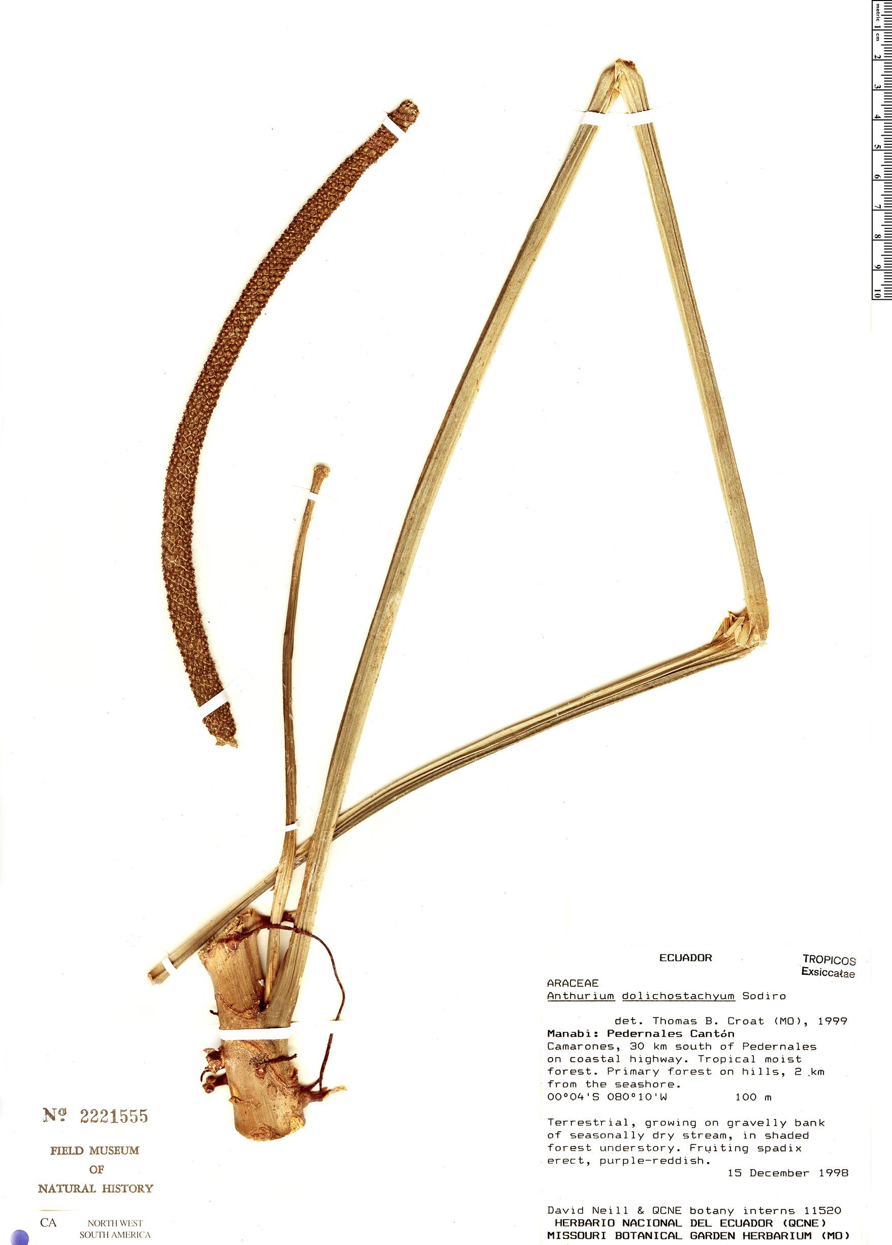 Specimen: Anthurium dolichostachyum