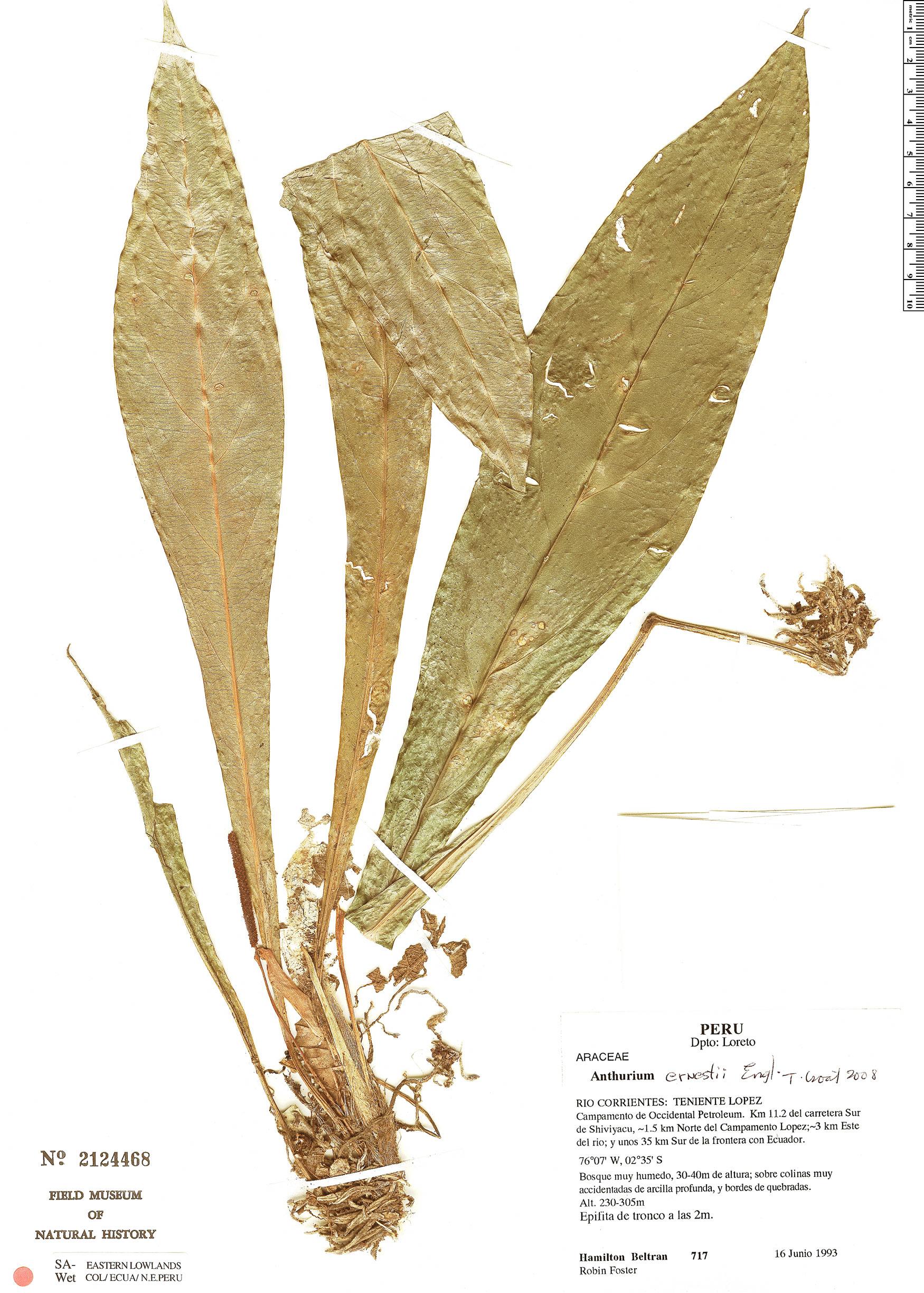 Specimen: Anthurium ernesti