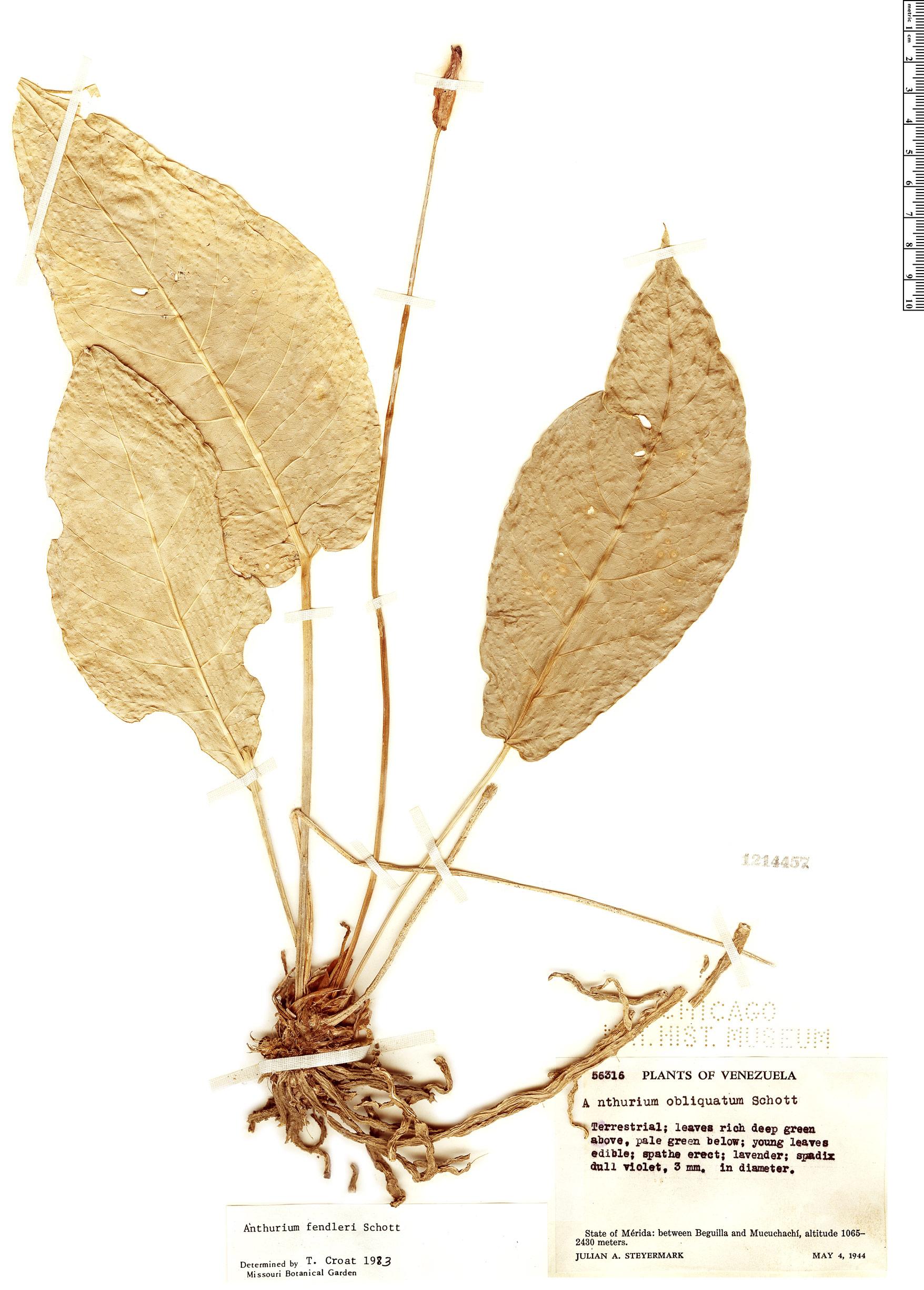 Specimen: Anthurium fendleri