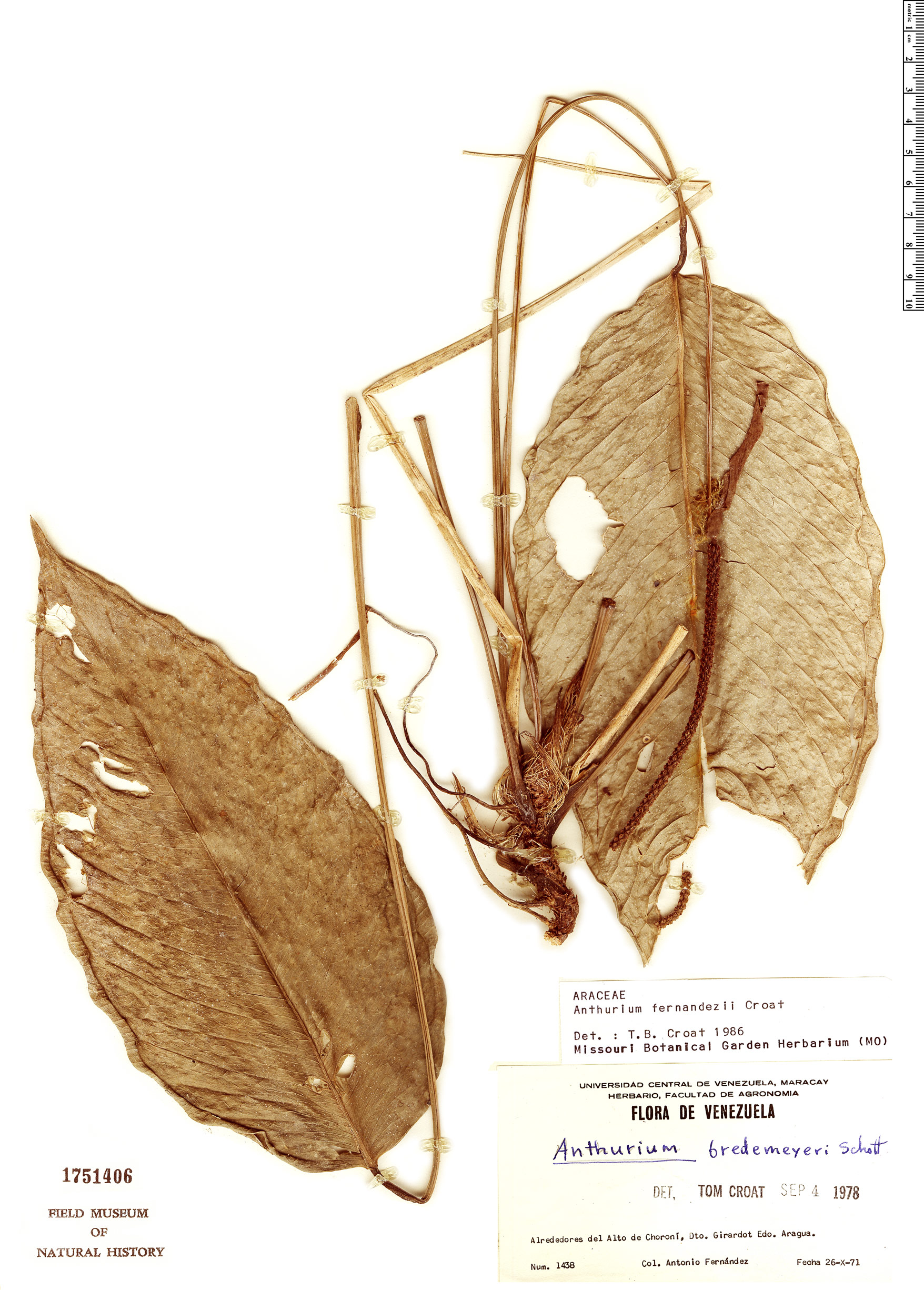 Espécimen: Anthurium fernandezii