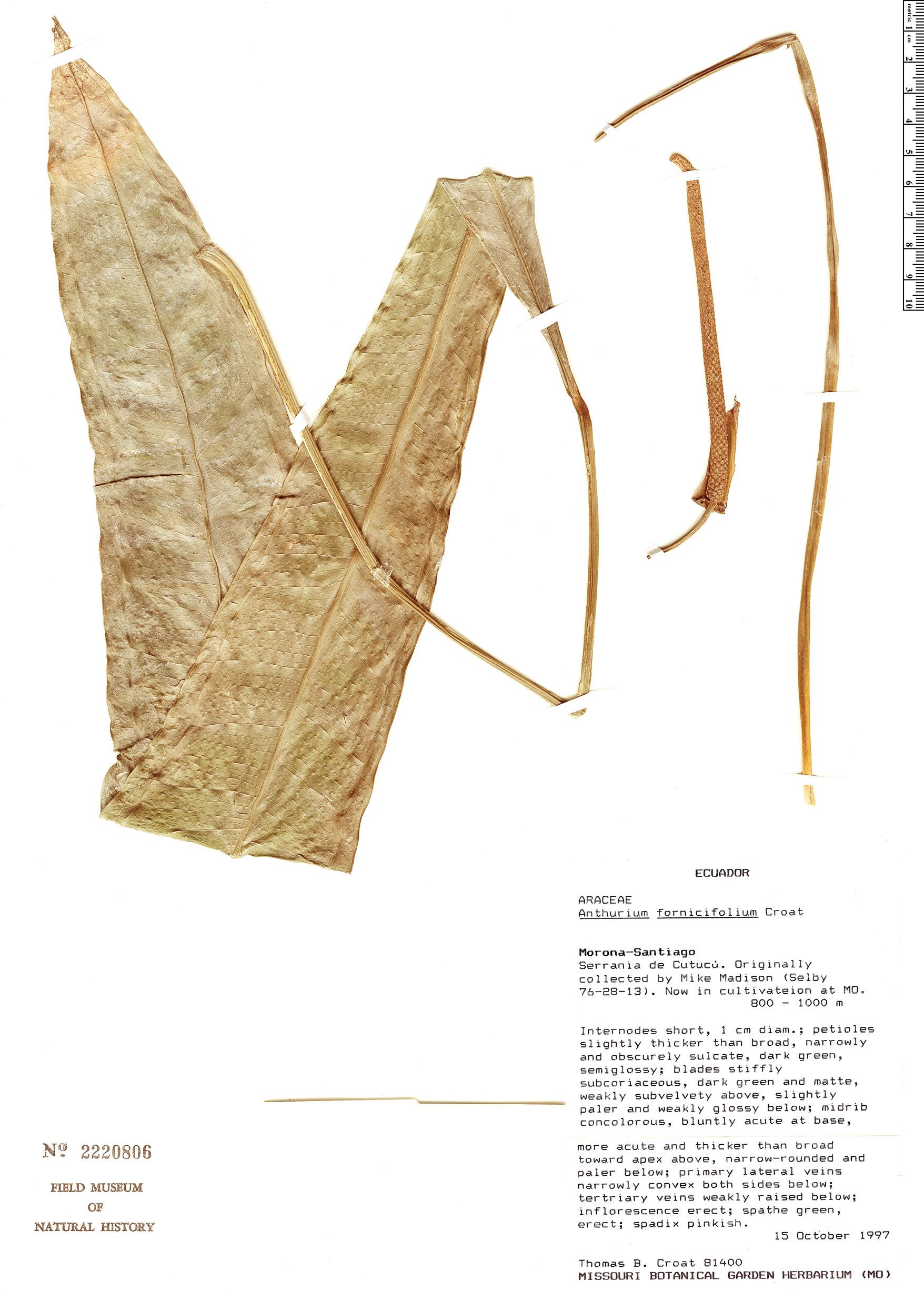 Specimen: Anthurium fornicifolium