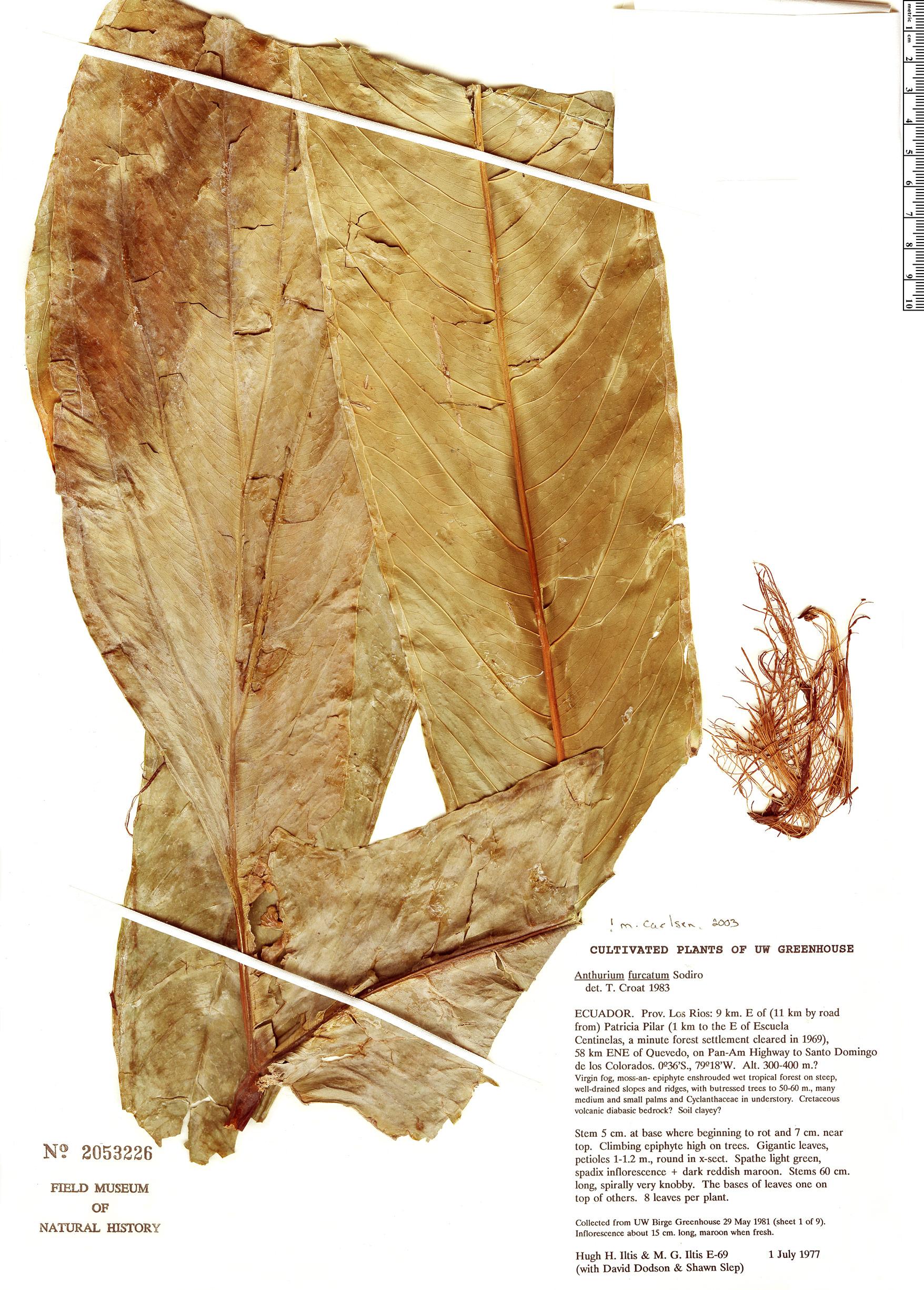 Specimen: Anthurium furcatum