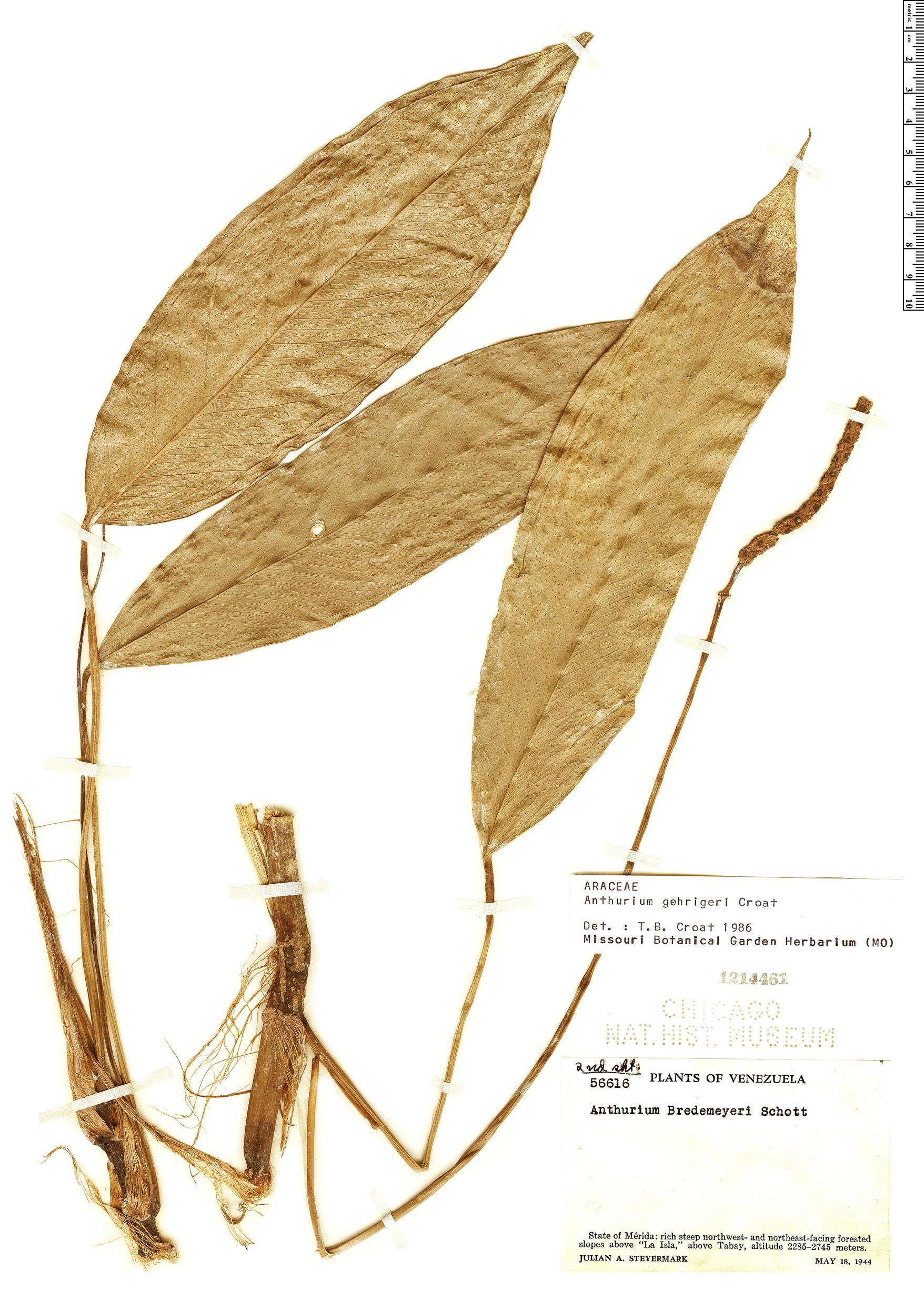 Specimen: Anthurium gehrigeri