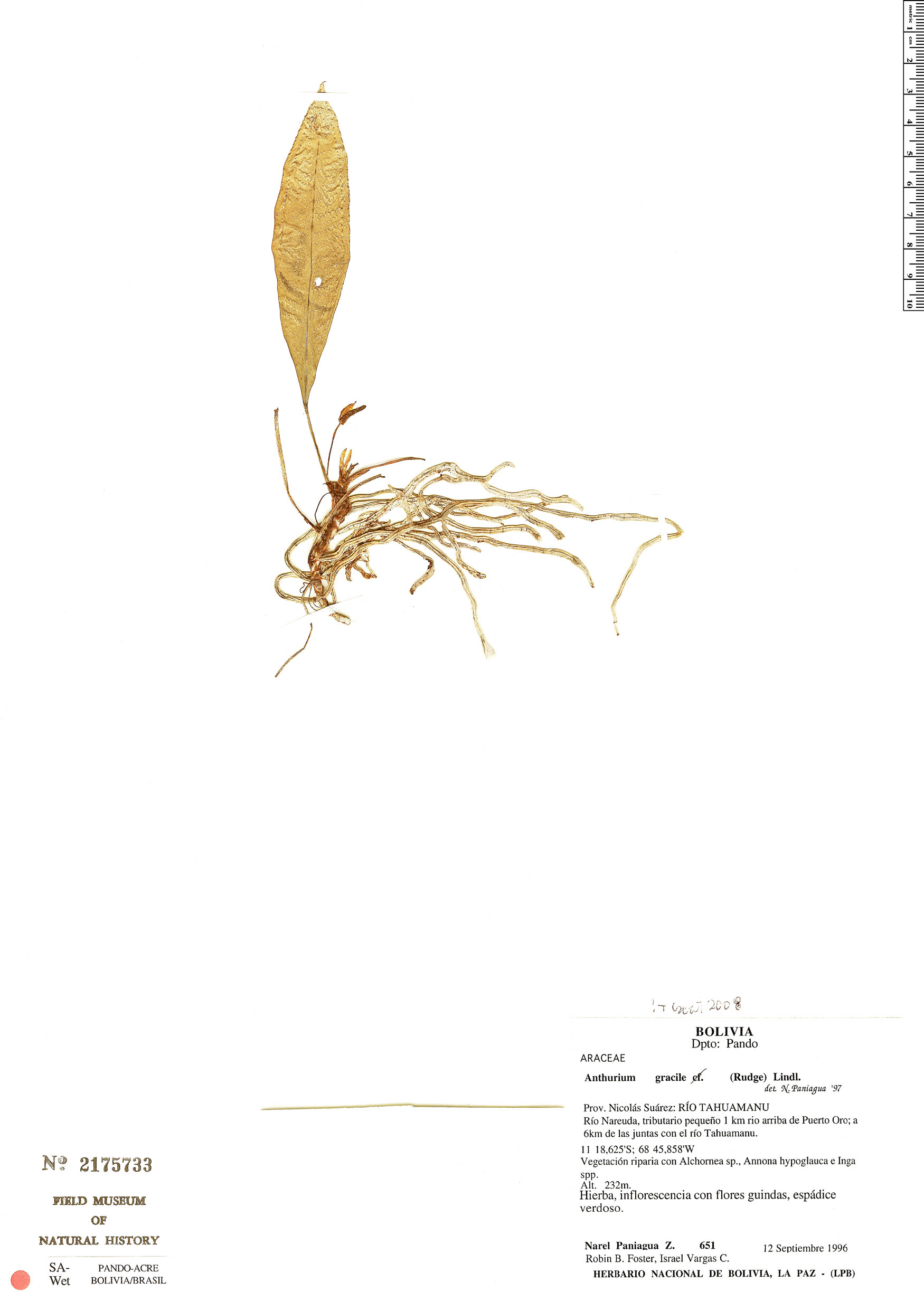 Specimen: Anthurium gracile