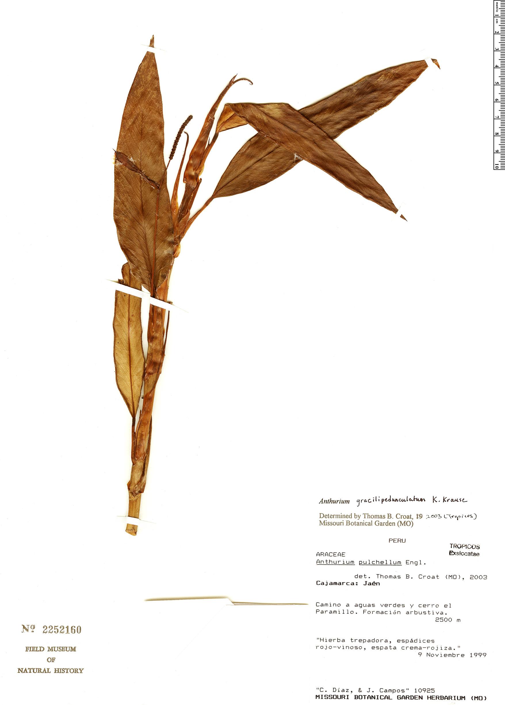 Specimen: Anthurium gracilipedunculatum