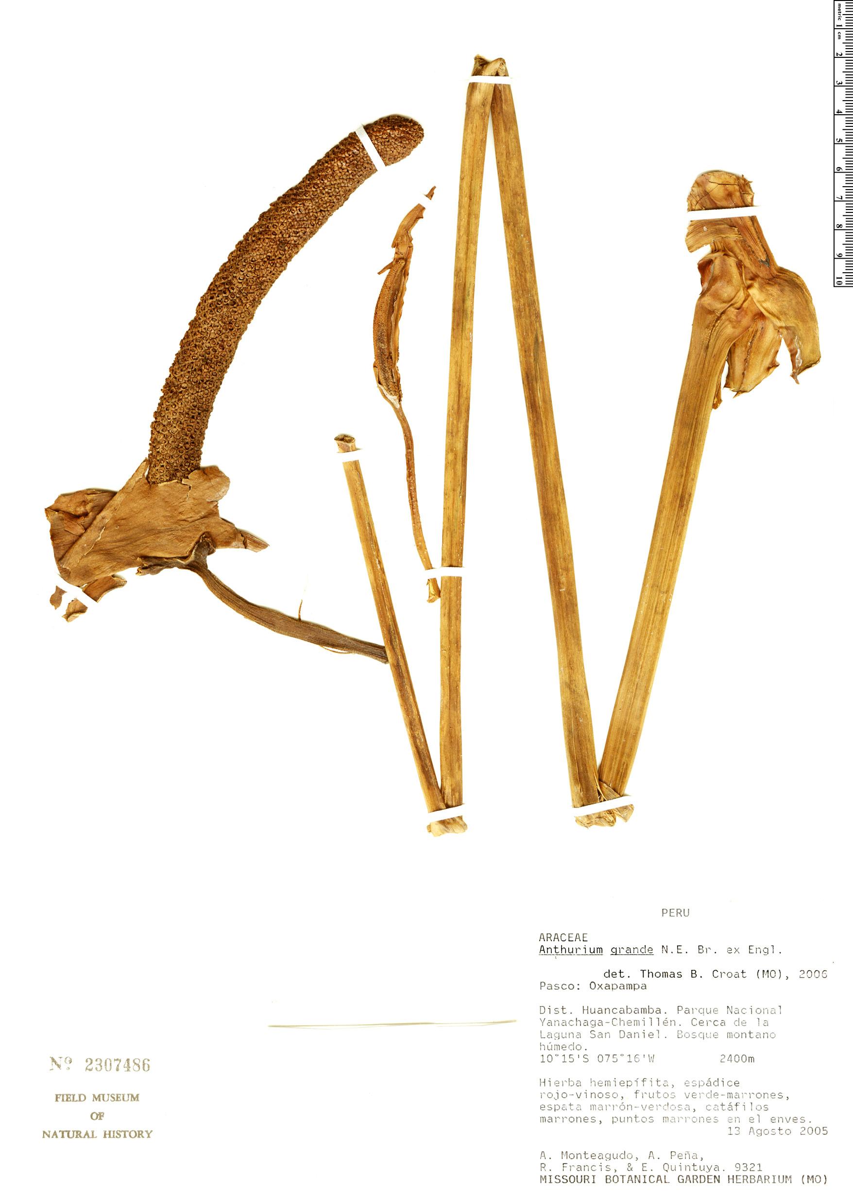 Specimen: Anthurium grande