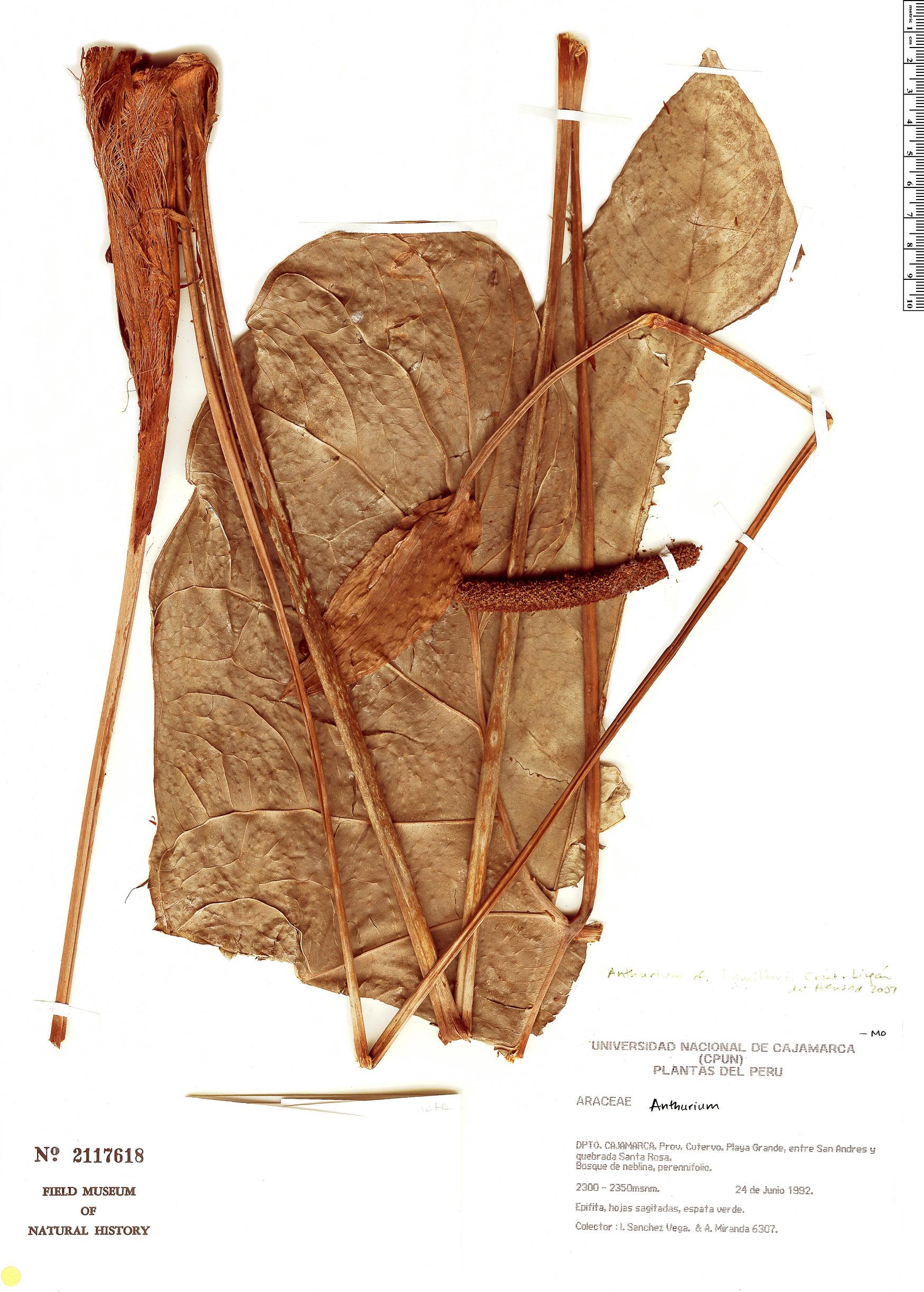 Specimen: Anthurium hamiltonii