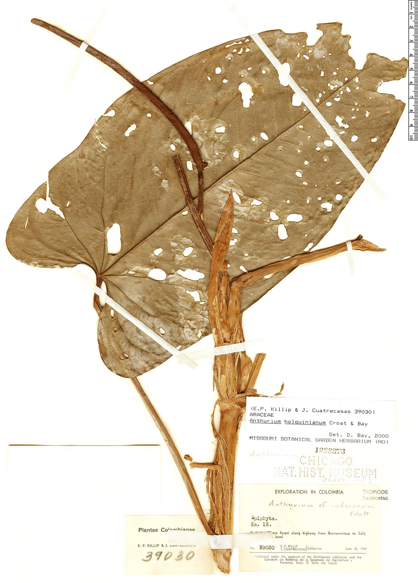 Specimen: Anthurium holquinianum