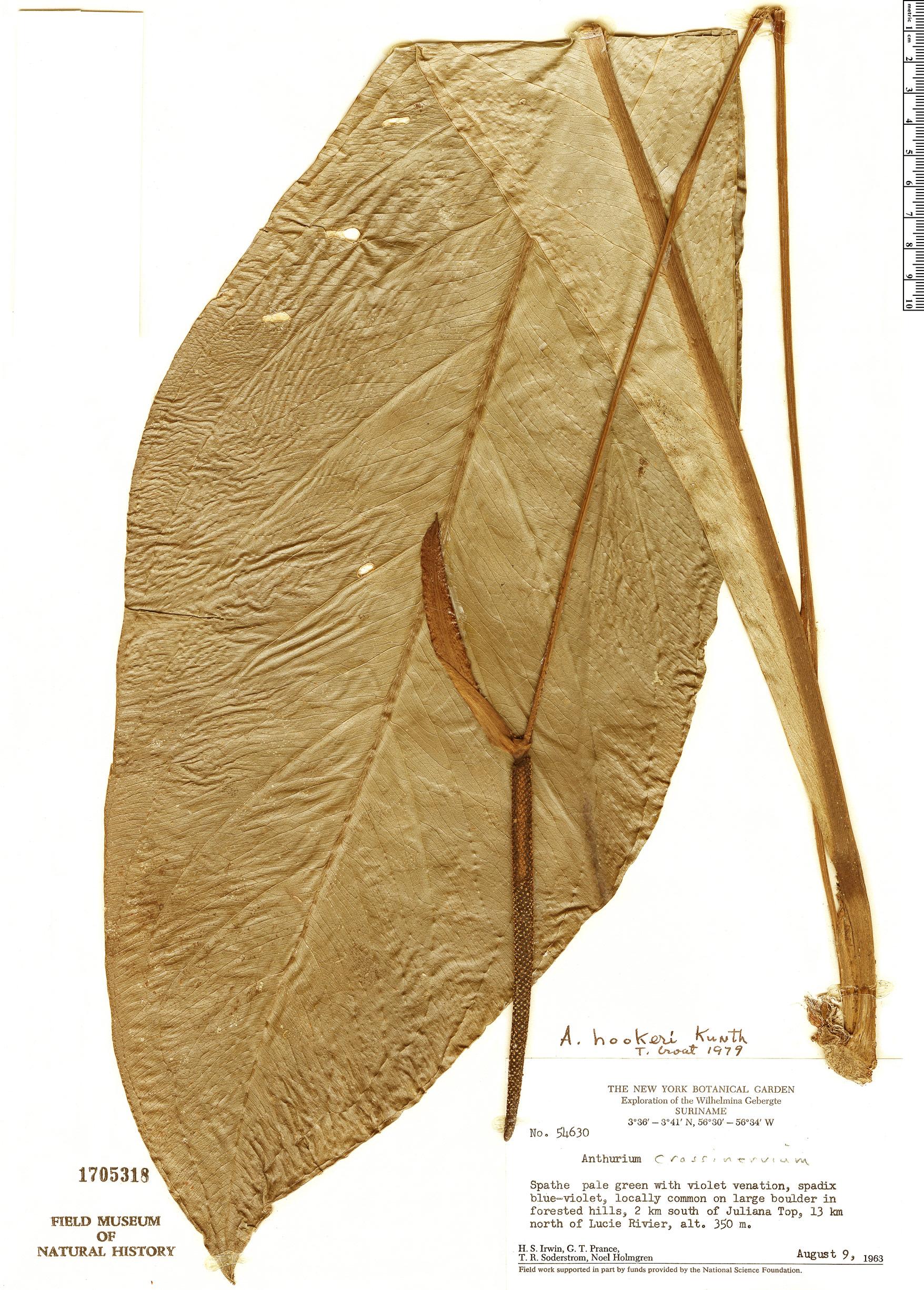 Specimen: Anthurium hookeri