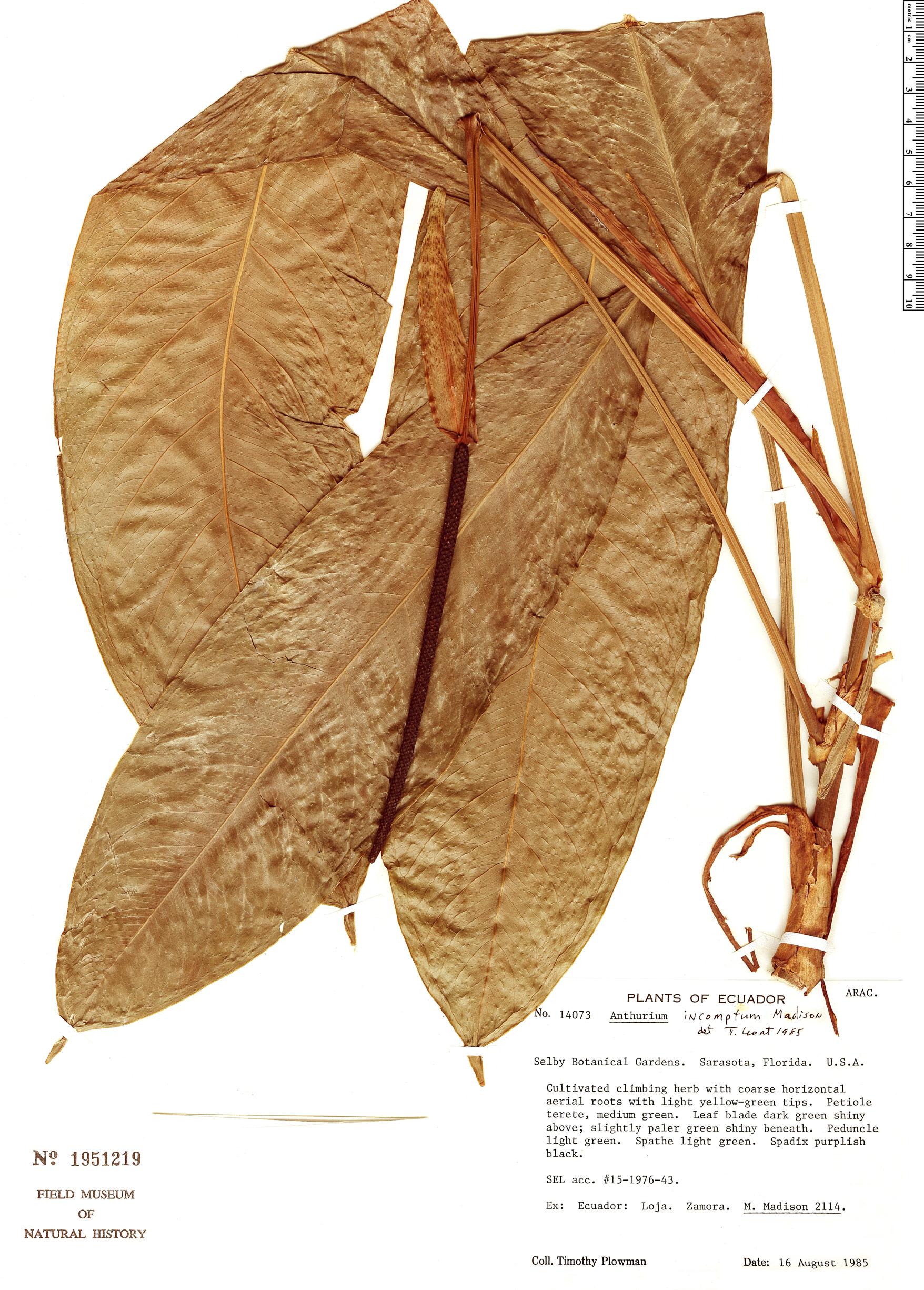 Specimen: Anthurium incomptum