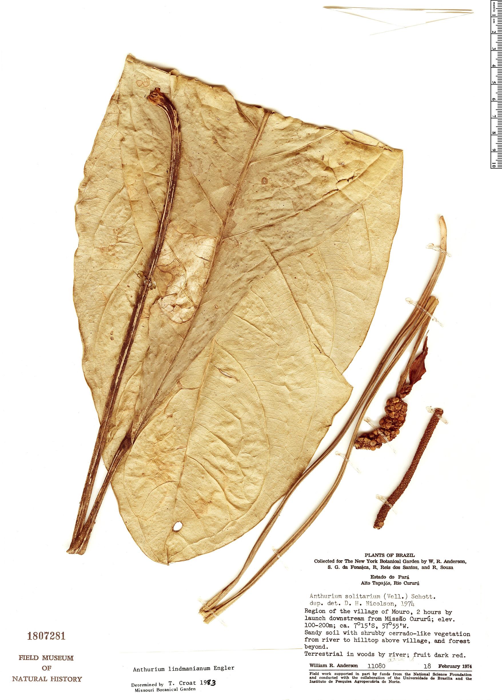 Specimen: Anthurium lindmanianum