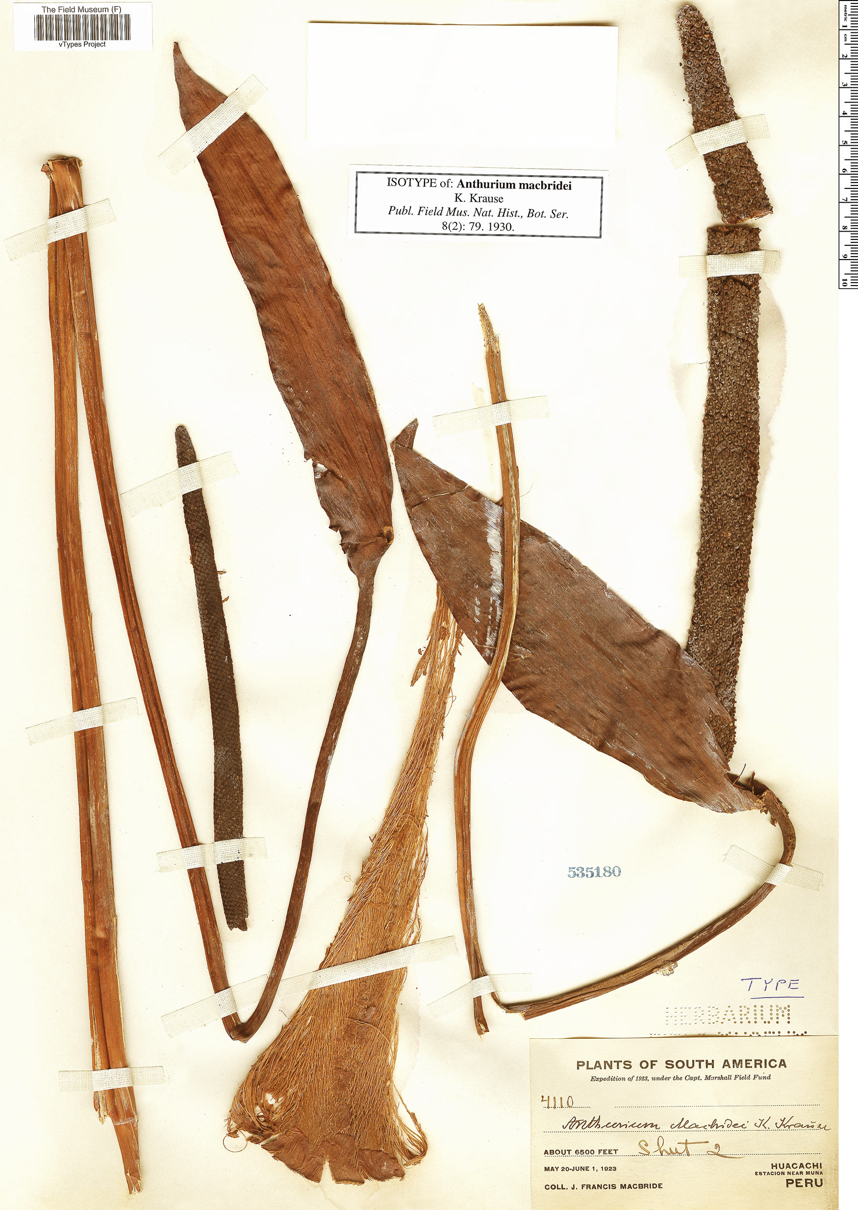 Espécimen: Anthurium macbridei
