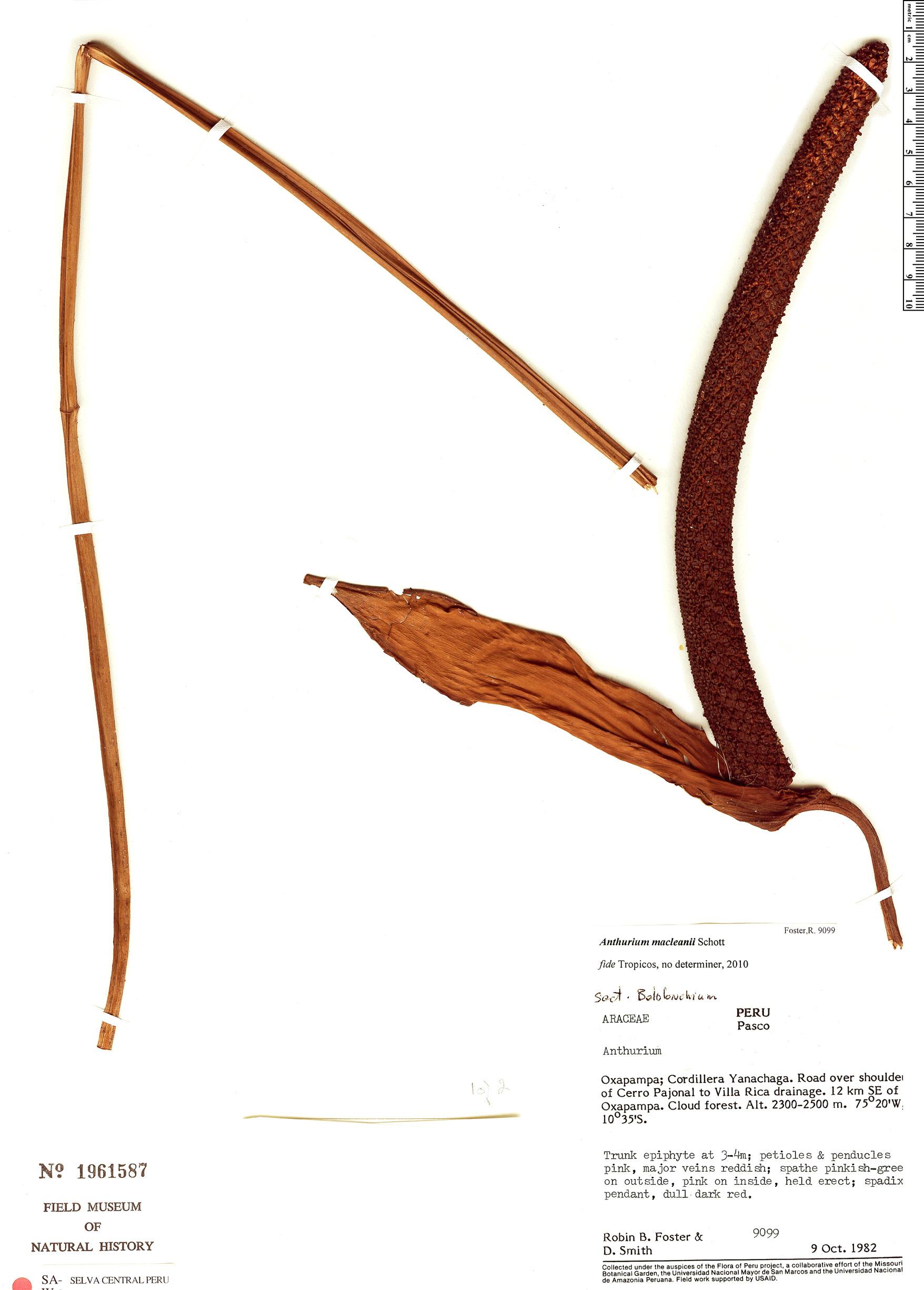 Specimen: Anthurium macleanii