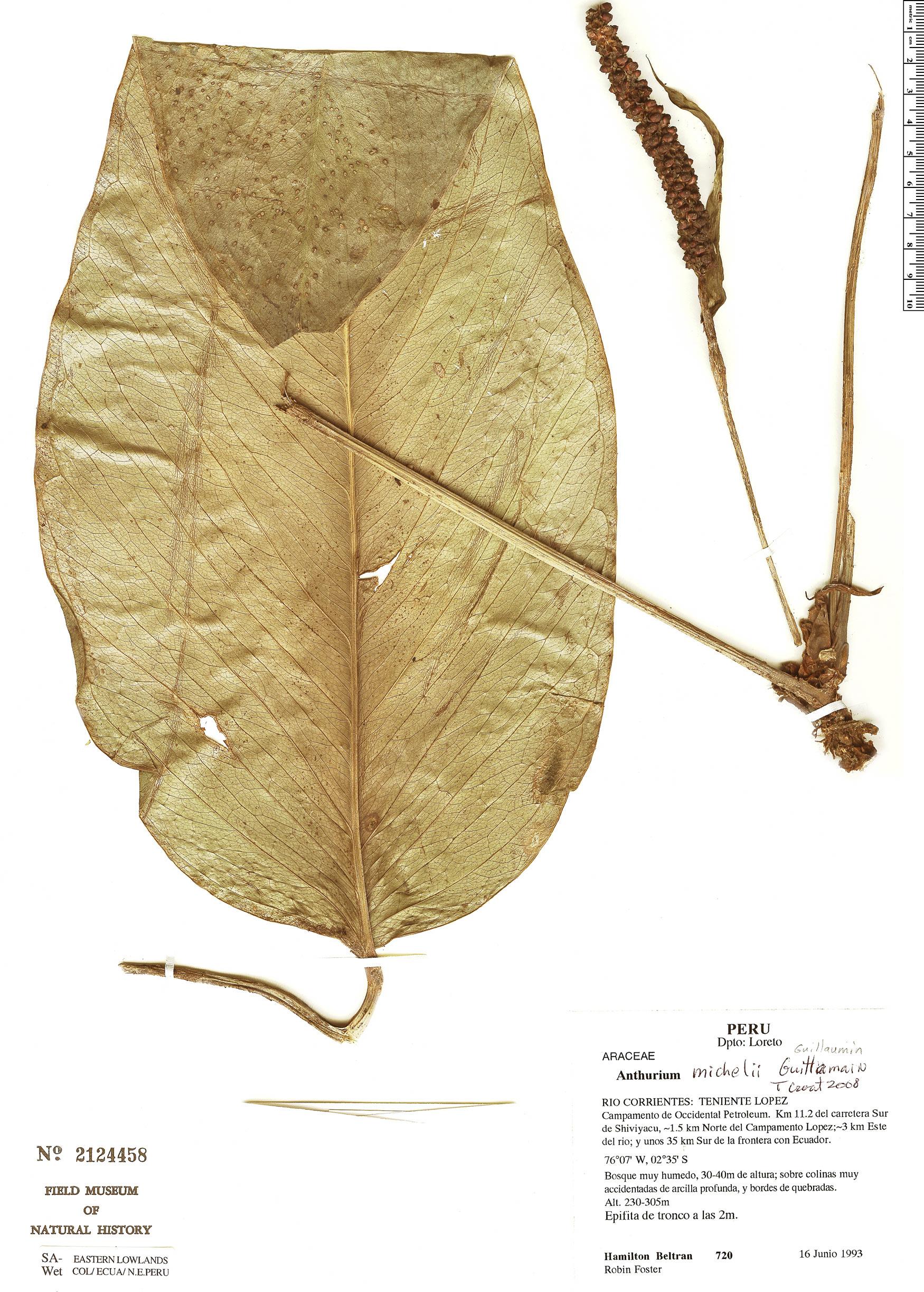 Specimen: Anthurium michelii