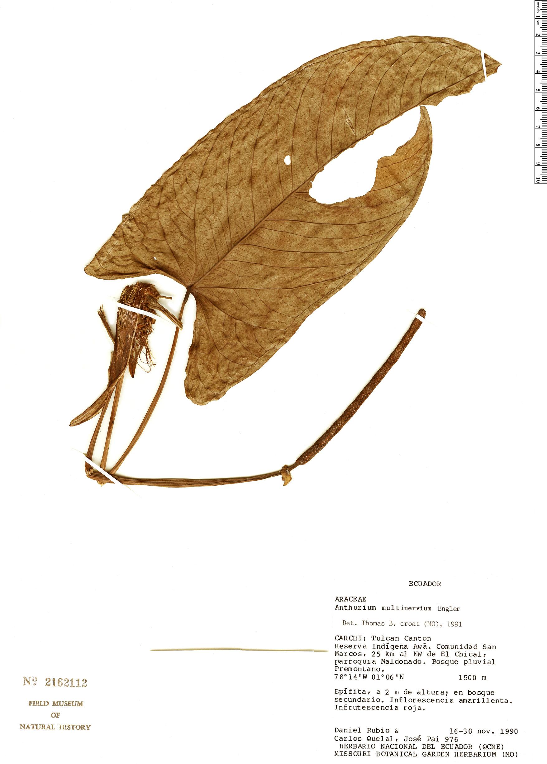 Specimen: Anthurium multinervium