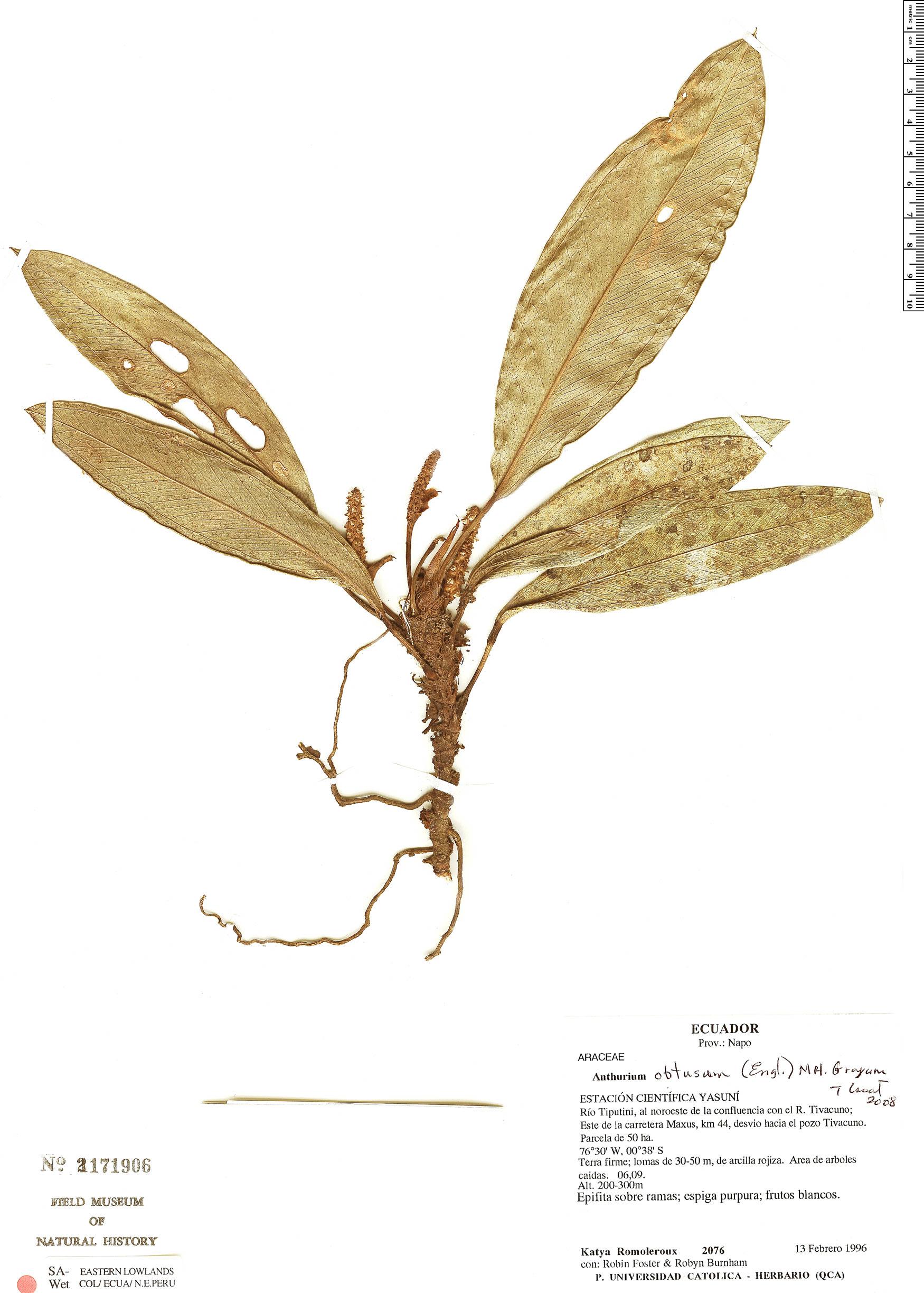 Specimen: Anthurium obtusum
