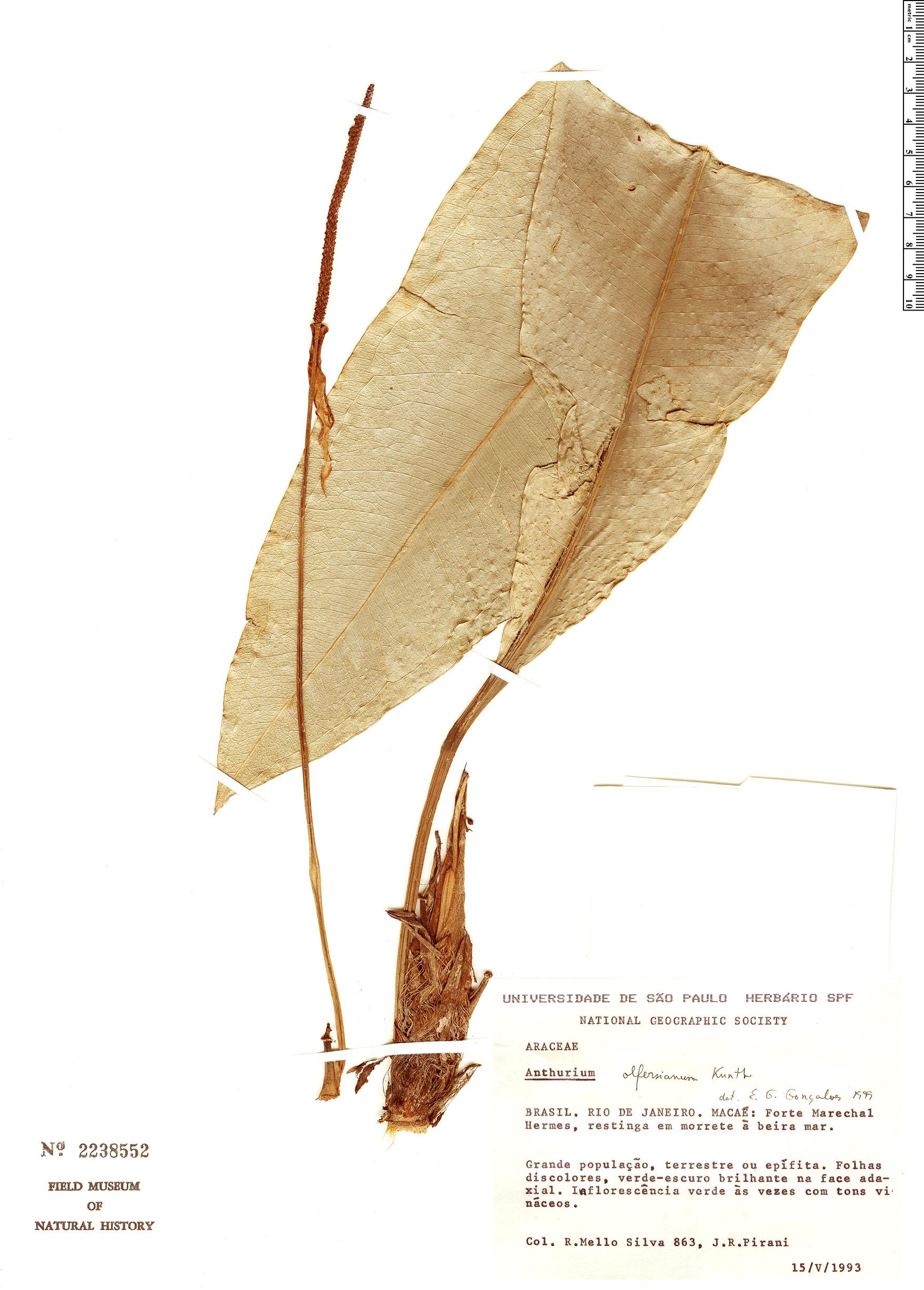 Specimen: Anthurium olfersianum