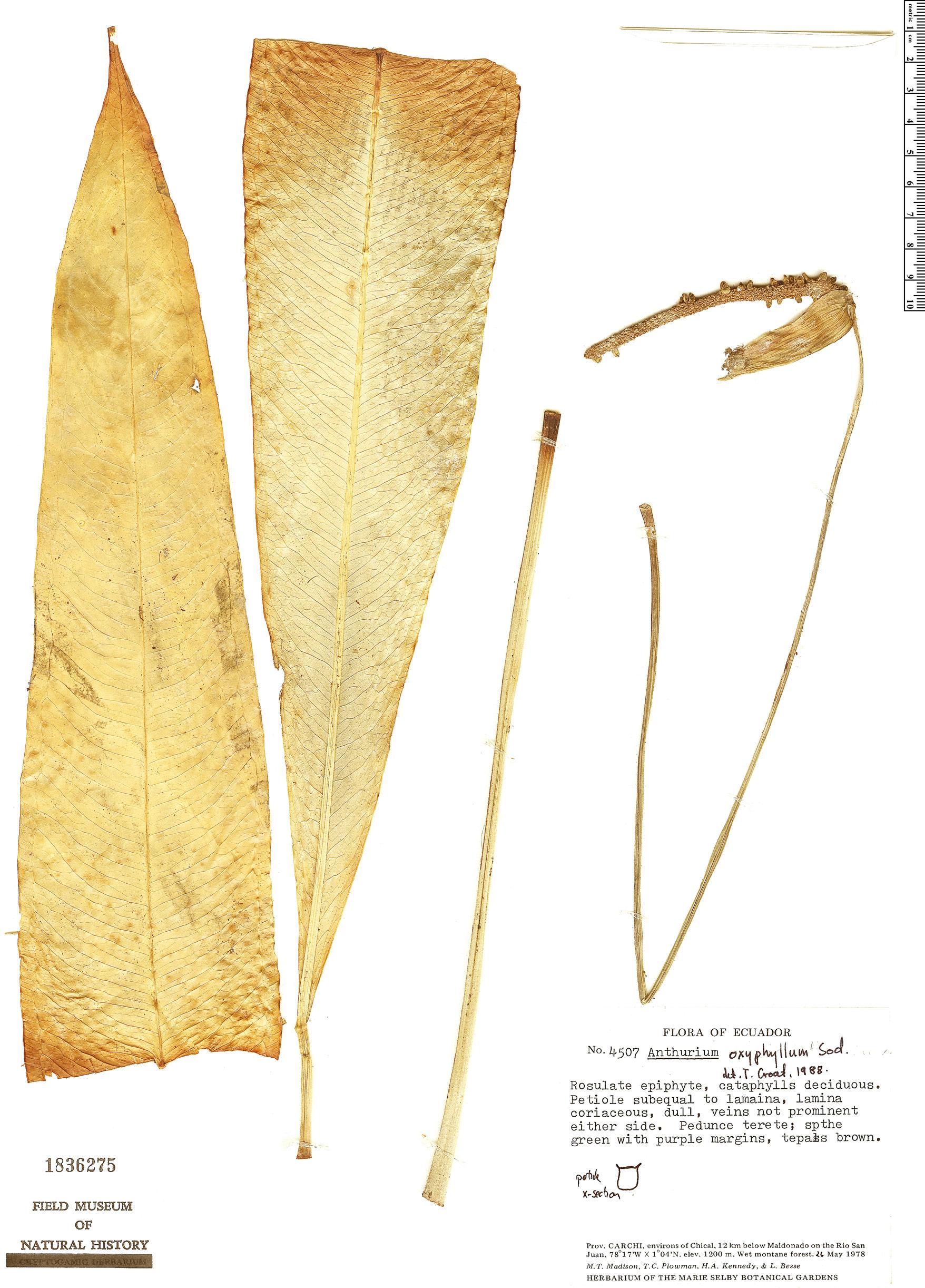 Specimen: Anthurium oxyphyllum