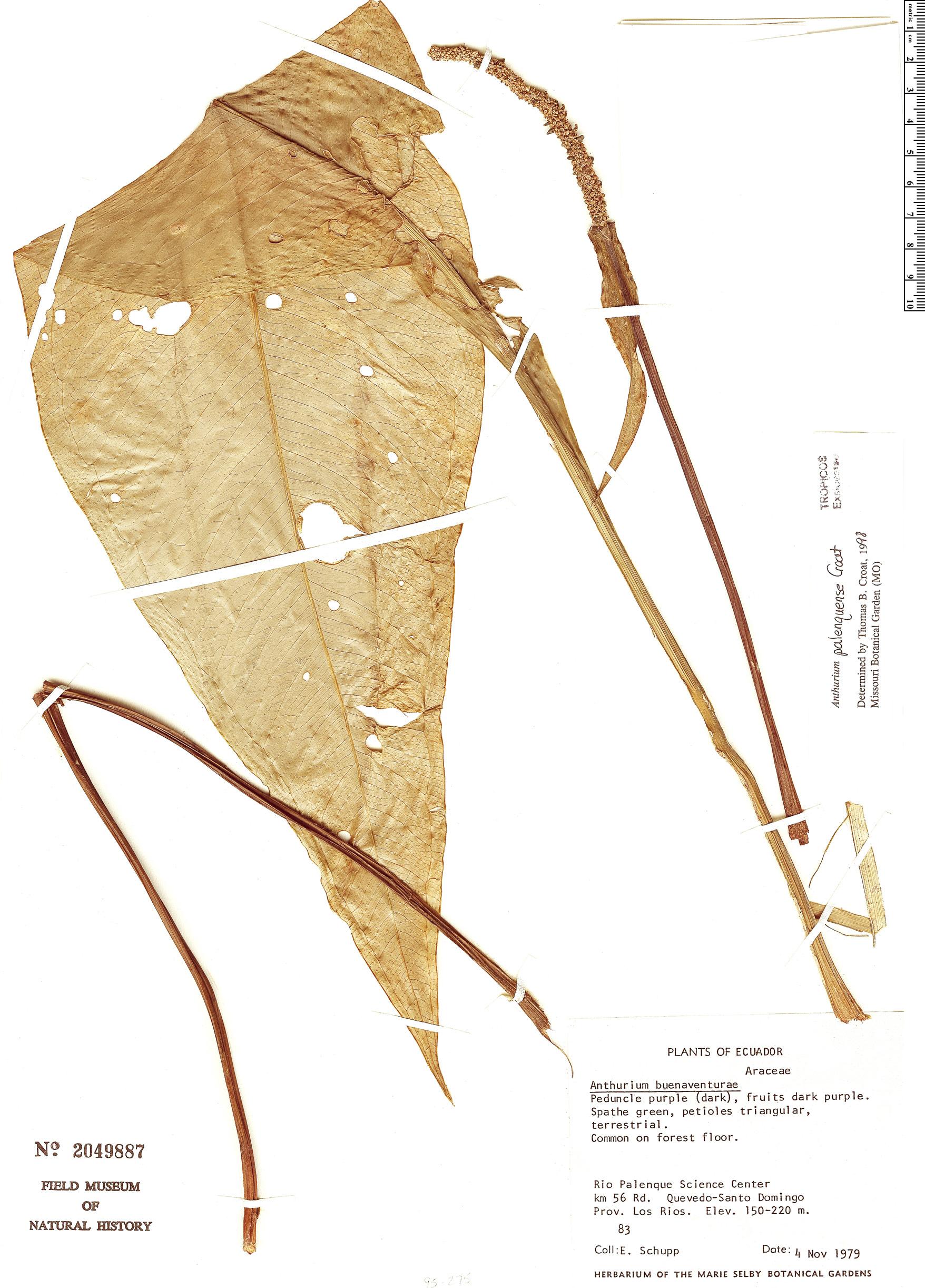Specimen: Anthurium palenquense
