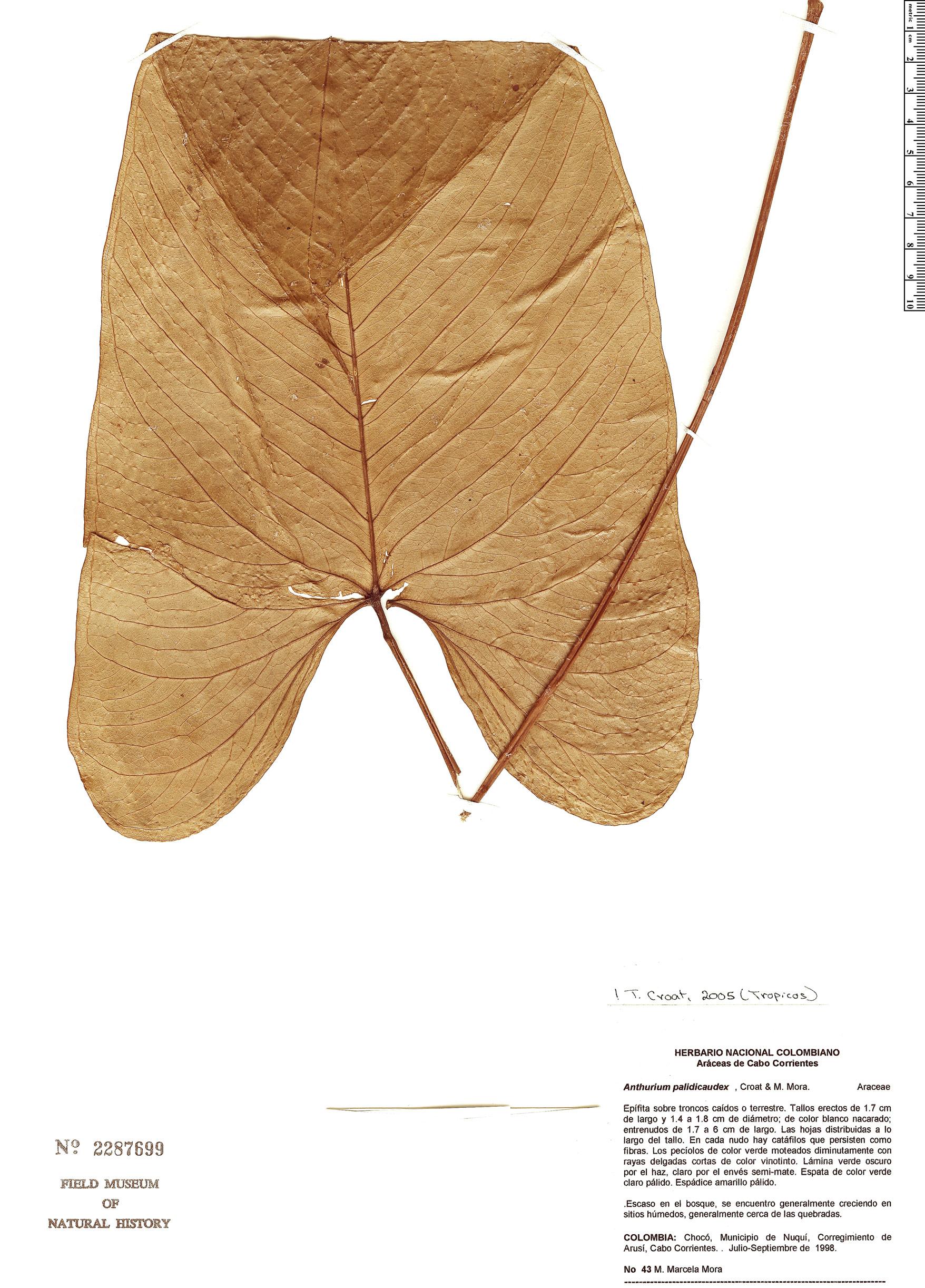 Specimen: Anthurium palidicaudex