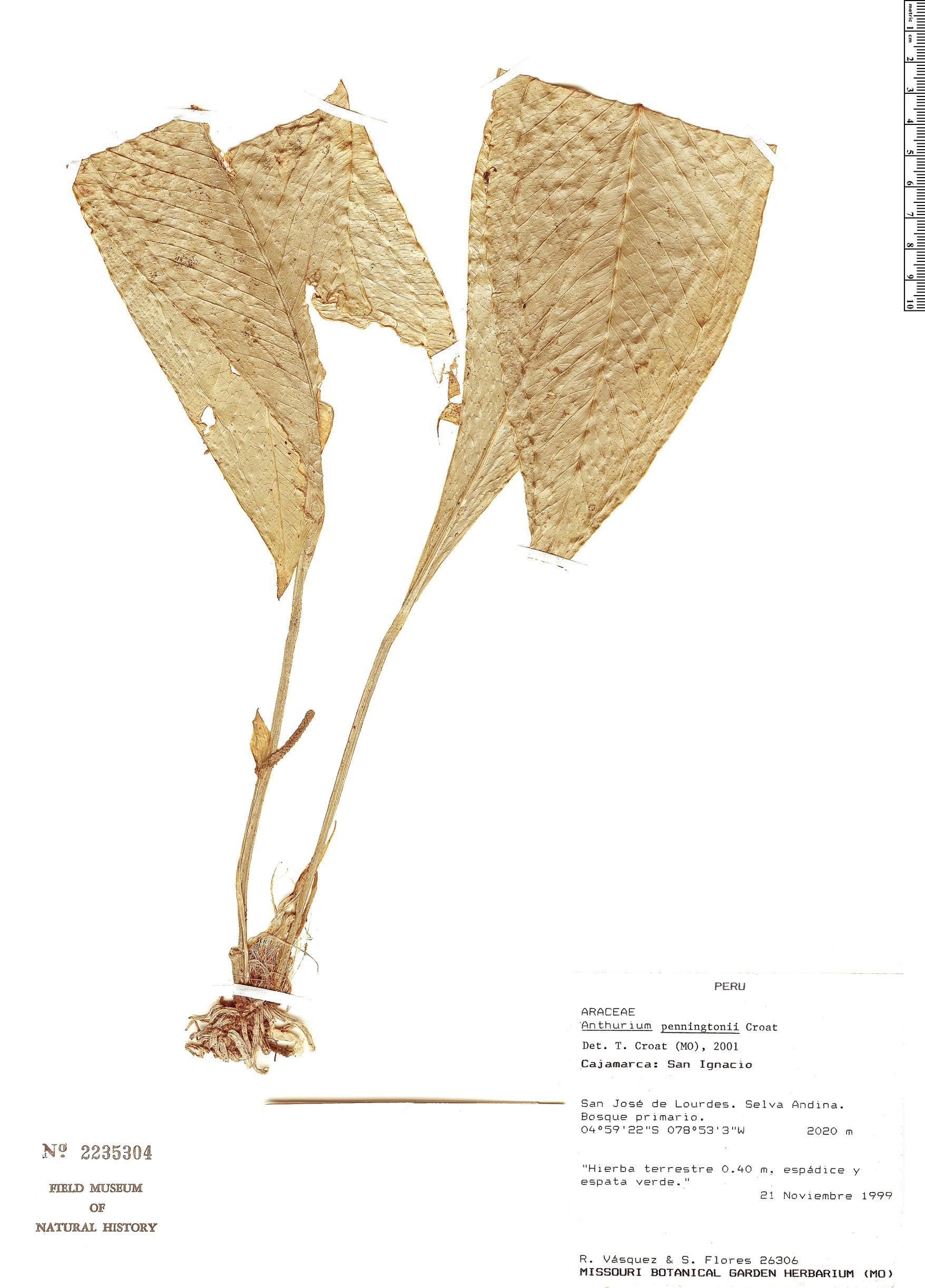 Specimen: Anthurium penningtonii