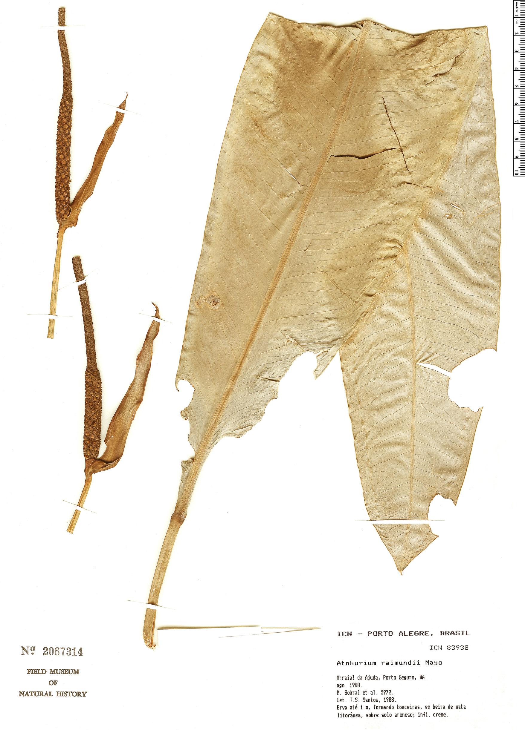 Specimen: Anthurium raimundii