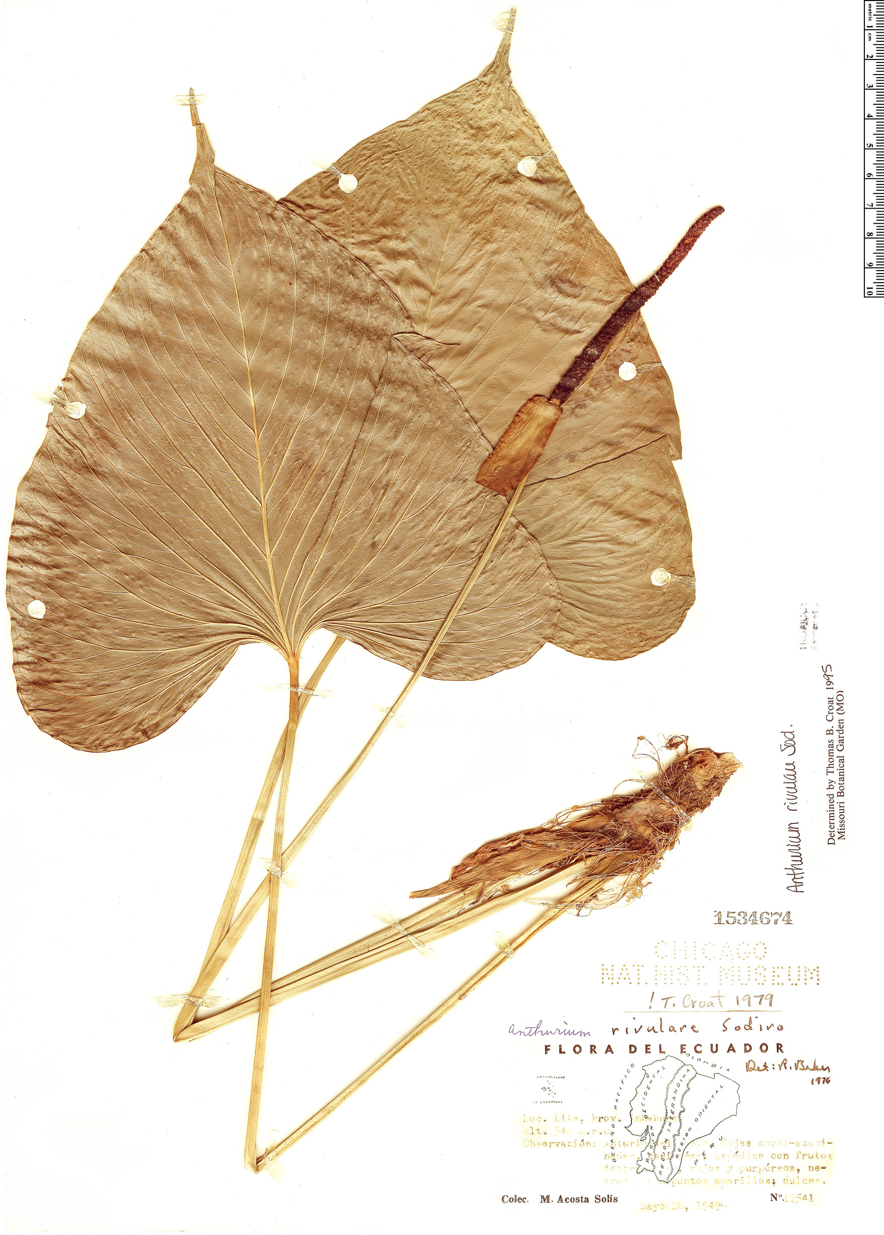 Specimen: Anthurium rivulare