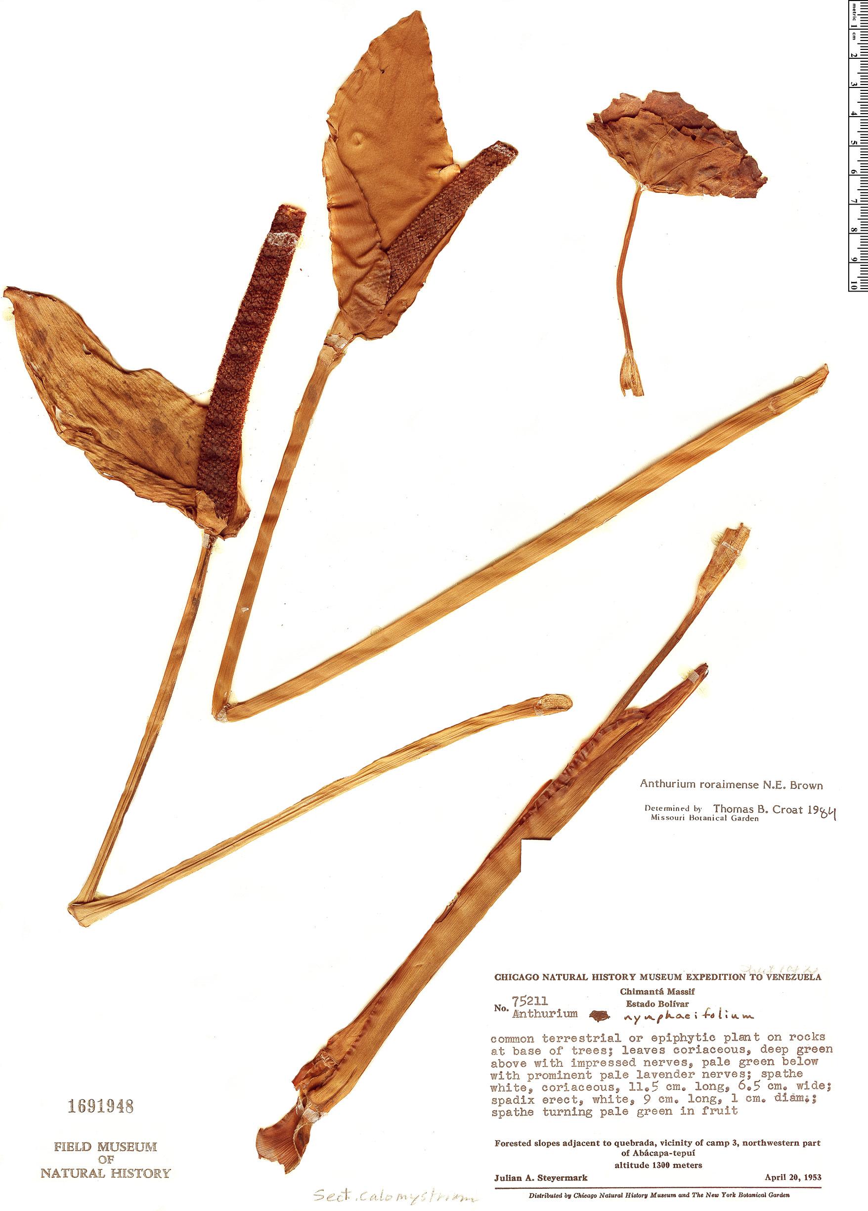Specimen: Anthurium roraimense