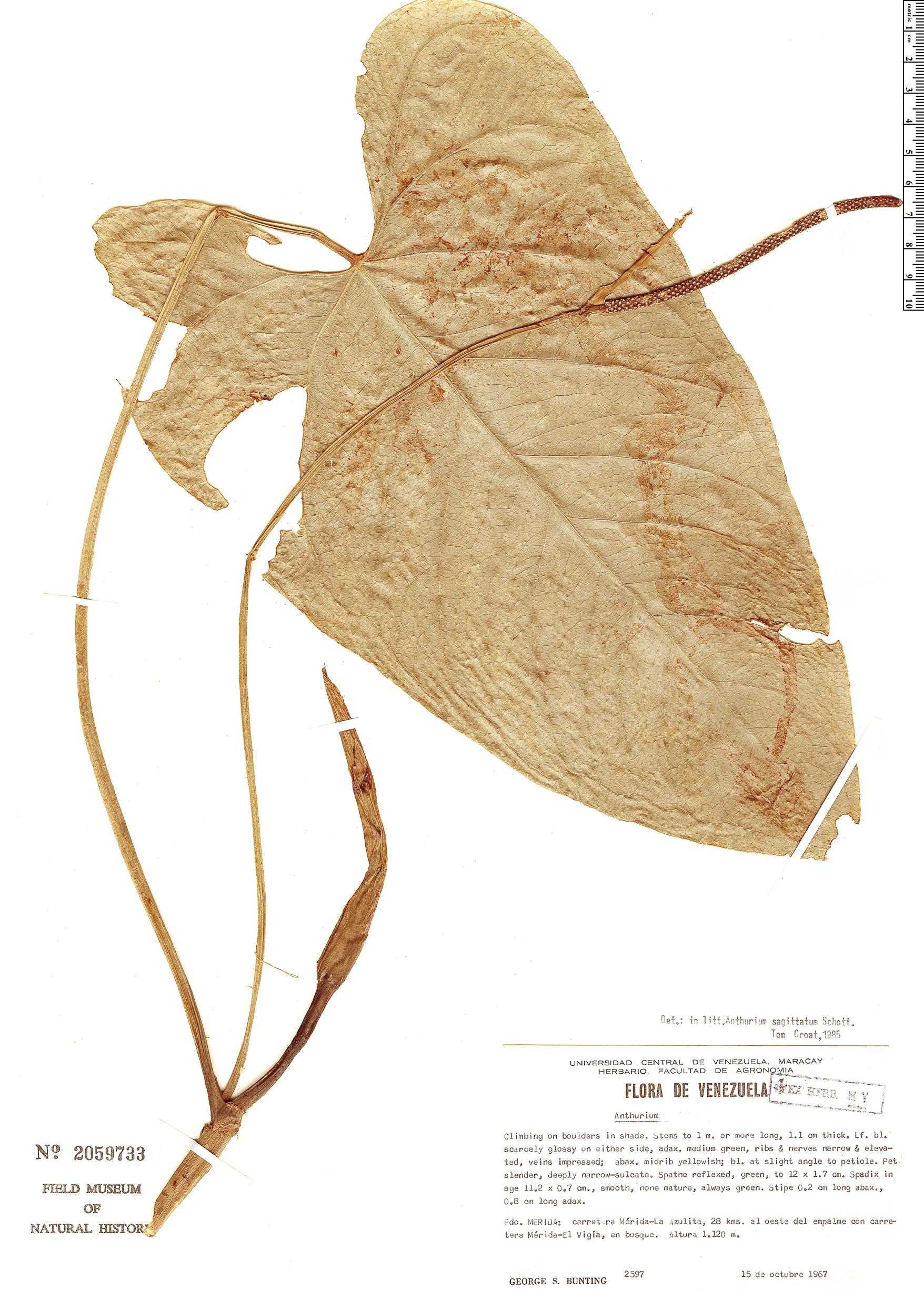 Specimen: Anthurium sagittatum