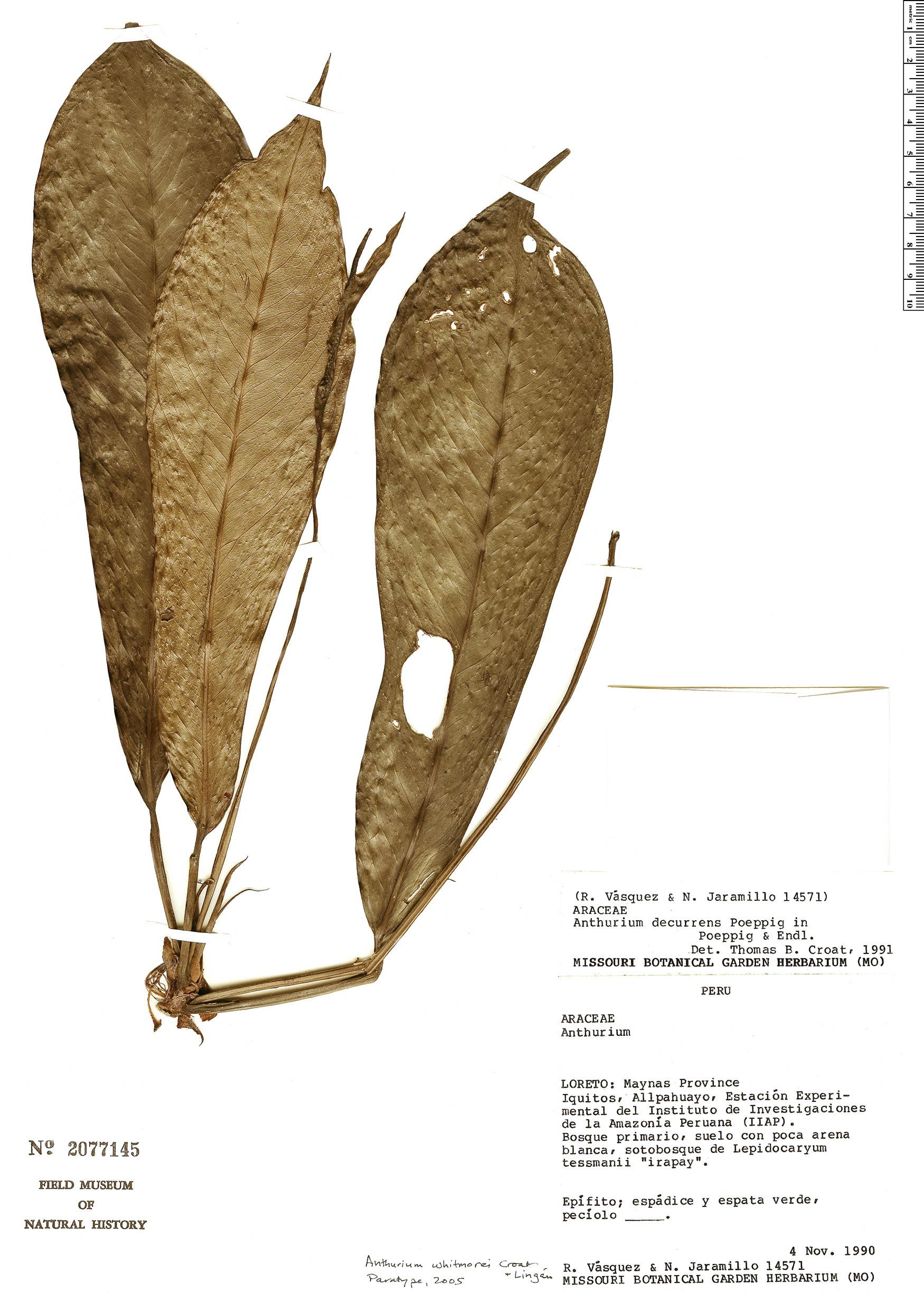 Specimen: Anthurium whitmorei