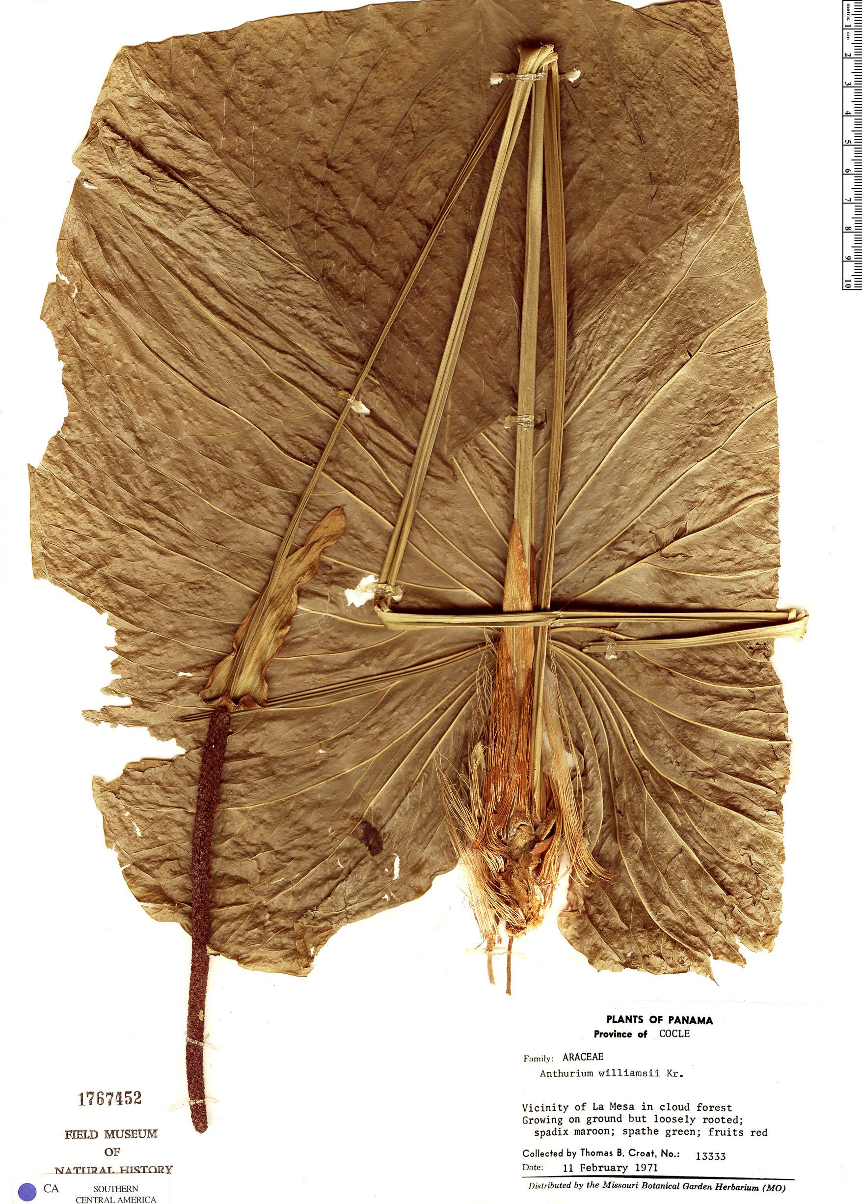 Specimen: Anthurium cuspidatum