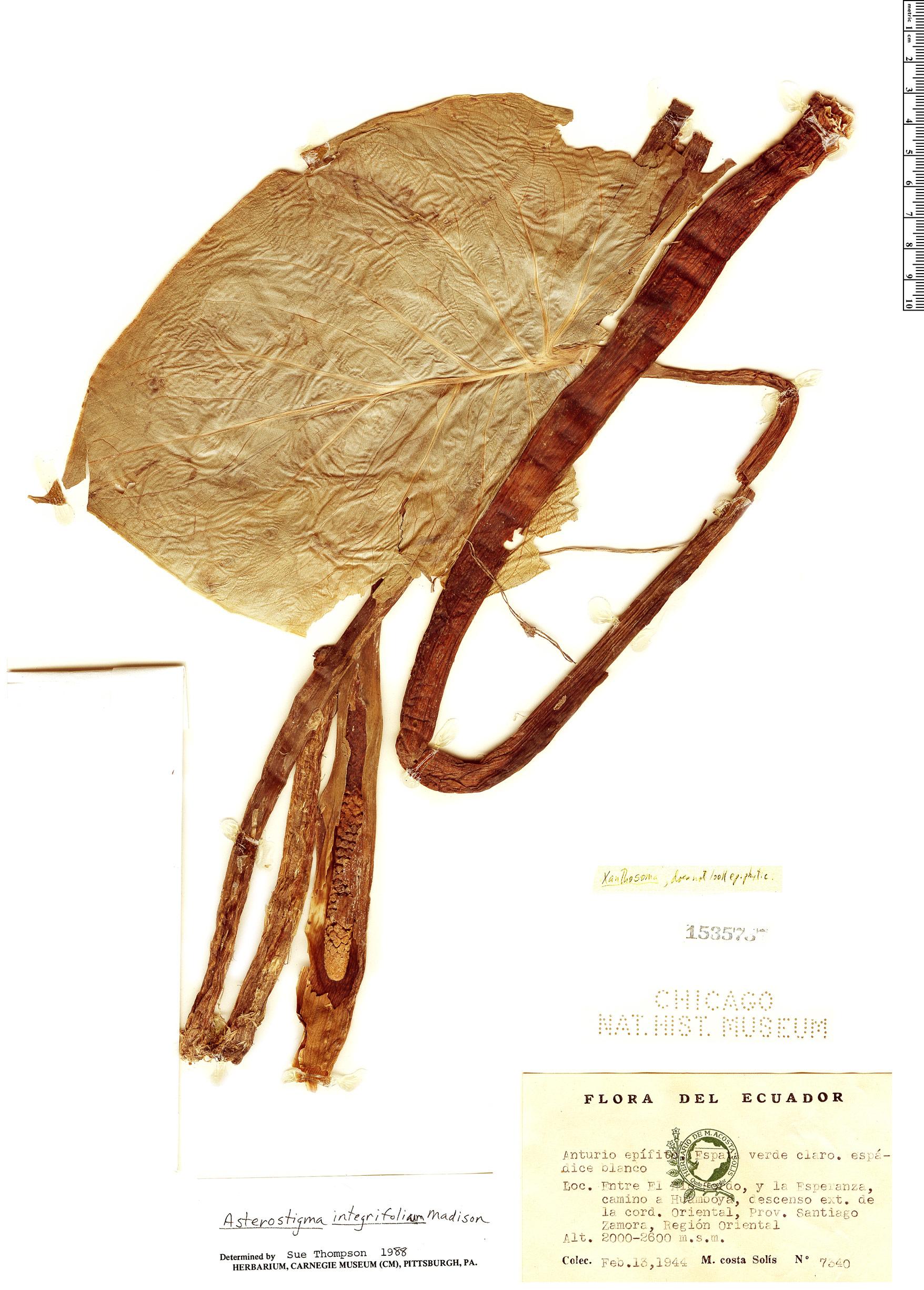 Specimen: Croatiella integrifolia