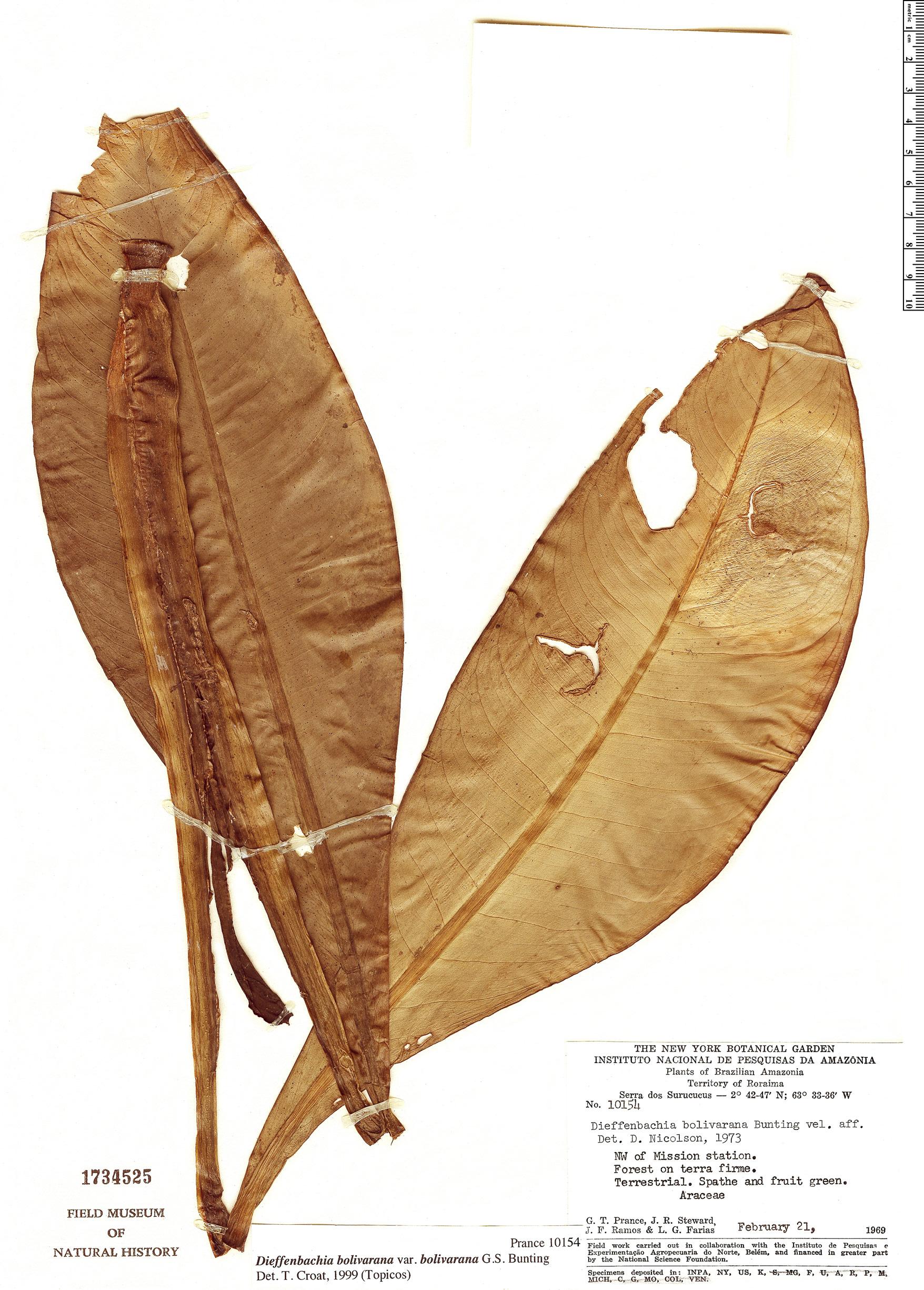 Specimen: Dieffenbachia bolivarana