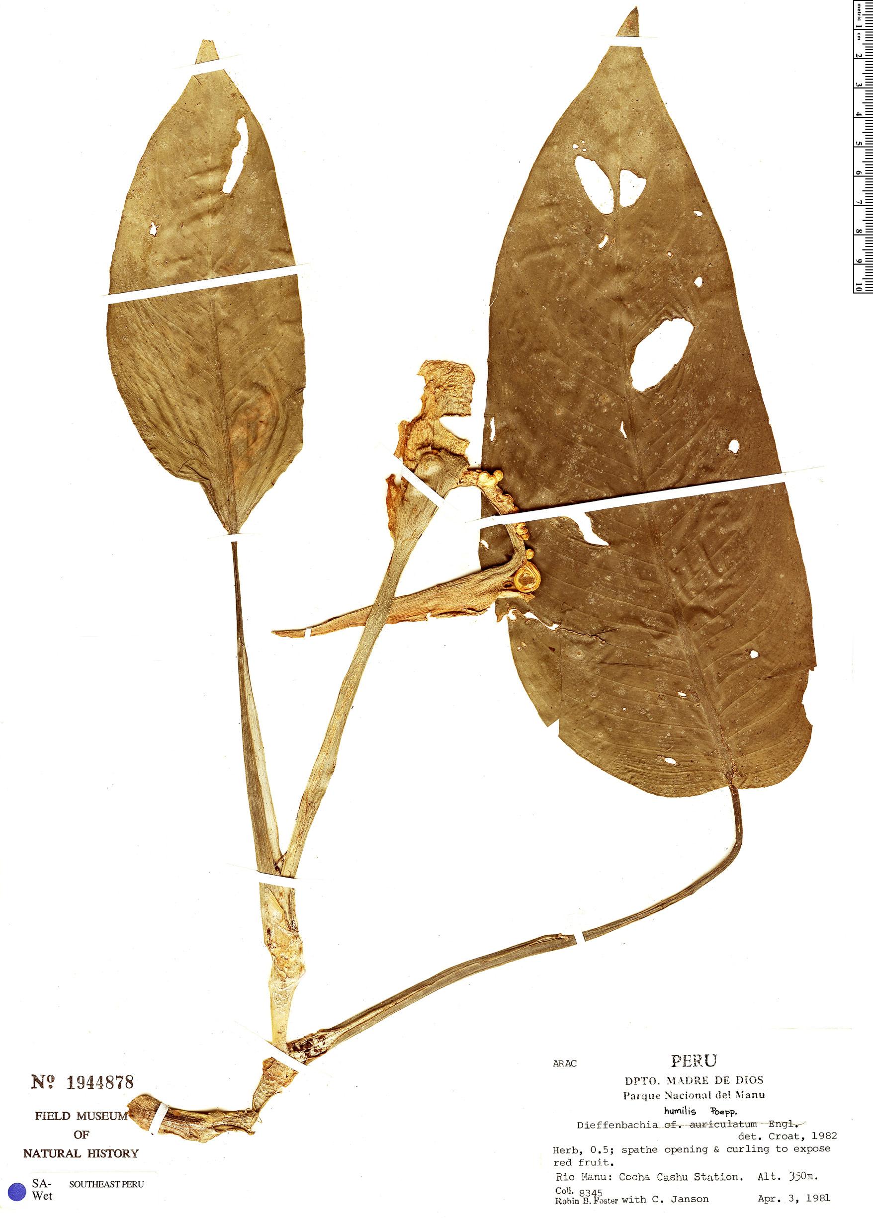 Specimen: Dieffenbachia humilis
