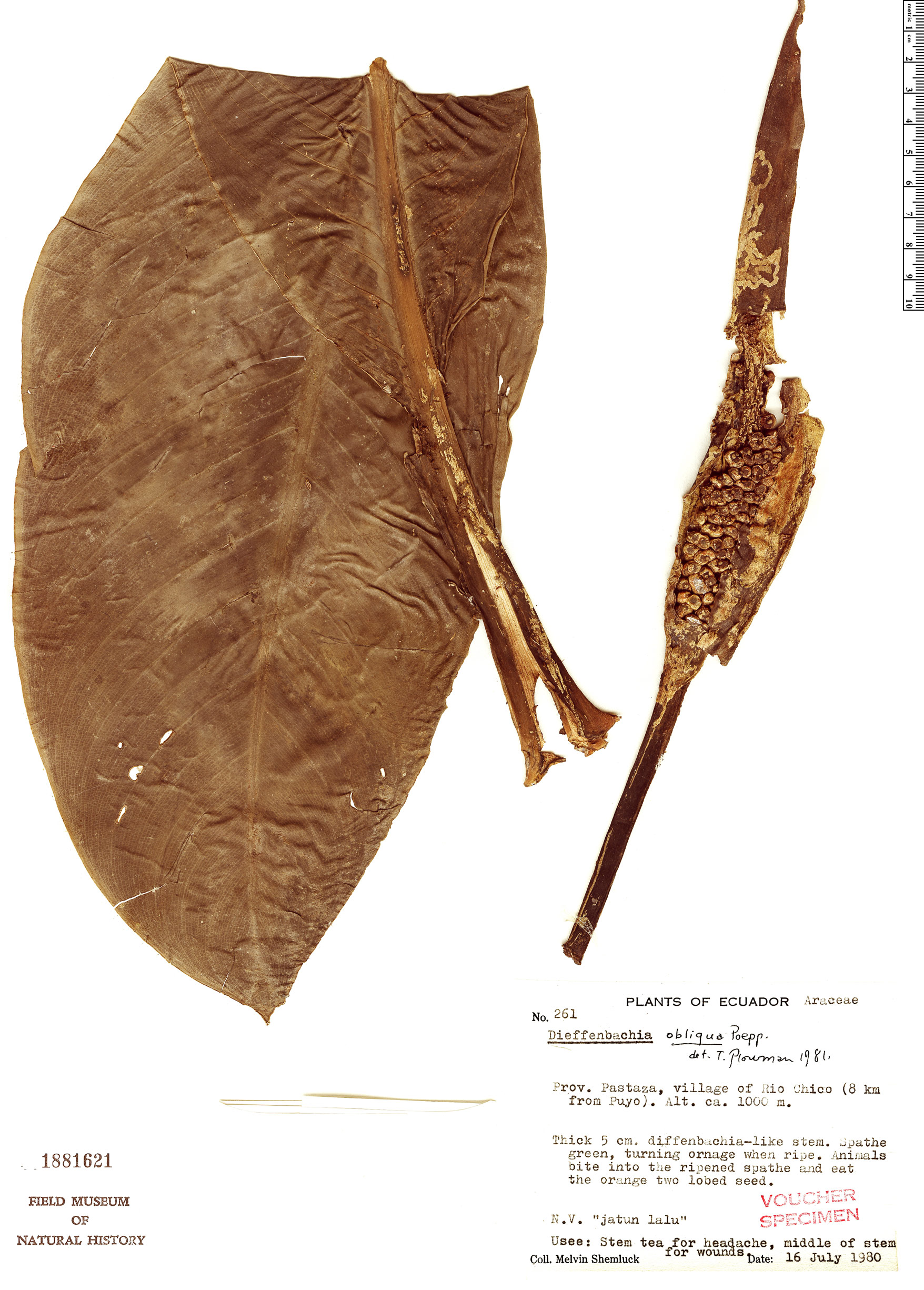 Specimen: Dieffenbachia obliqua